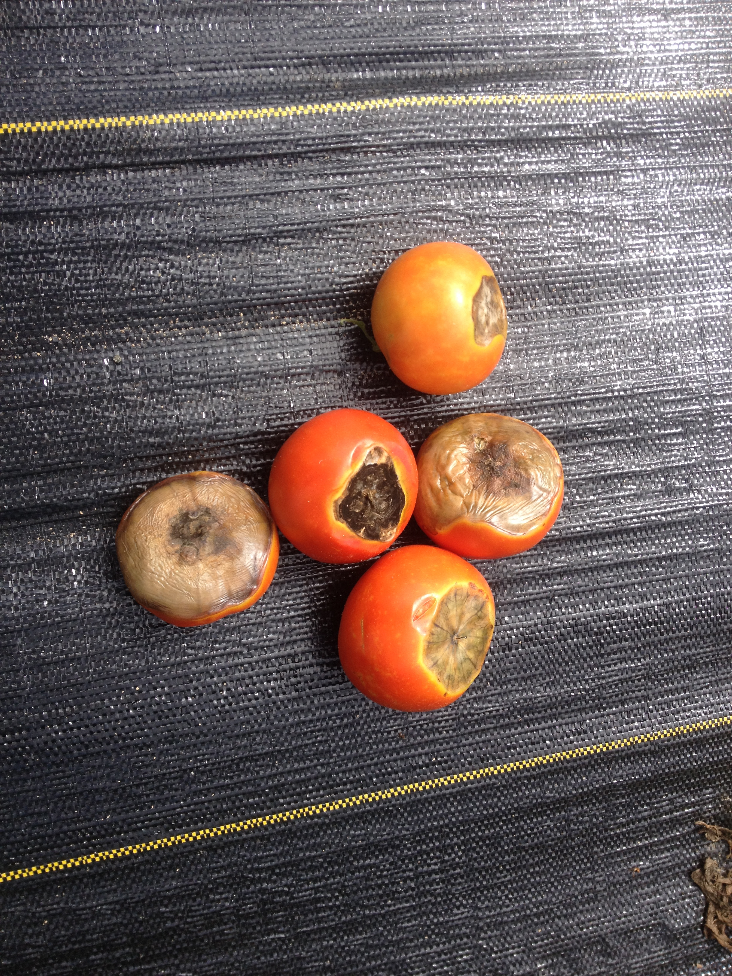 Blossom end rot on slicing tomatoes.