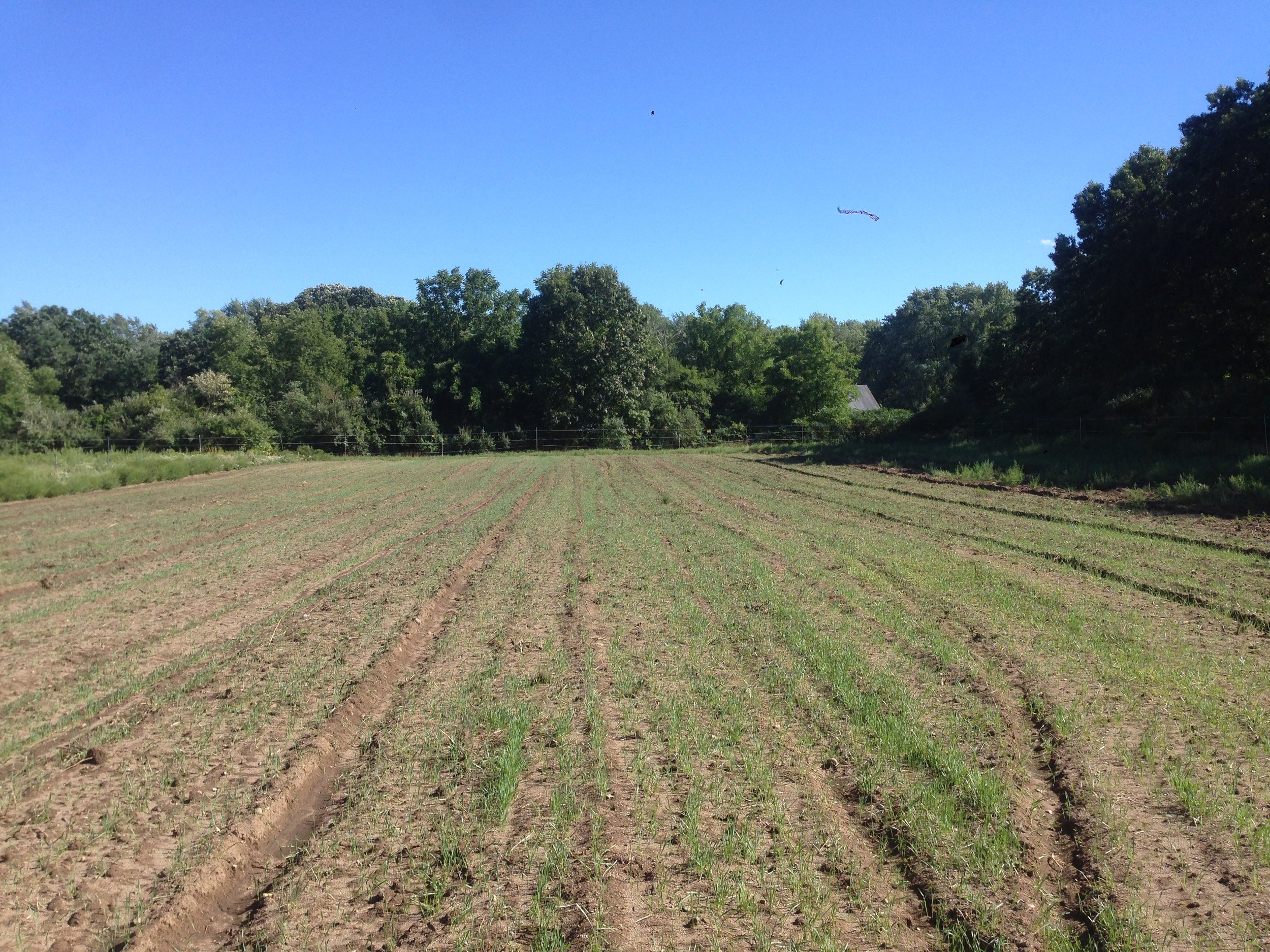 Cover crops triticale and peas beginning to grow where spring roots were harvested this season!