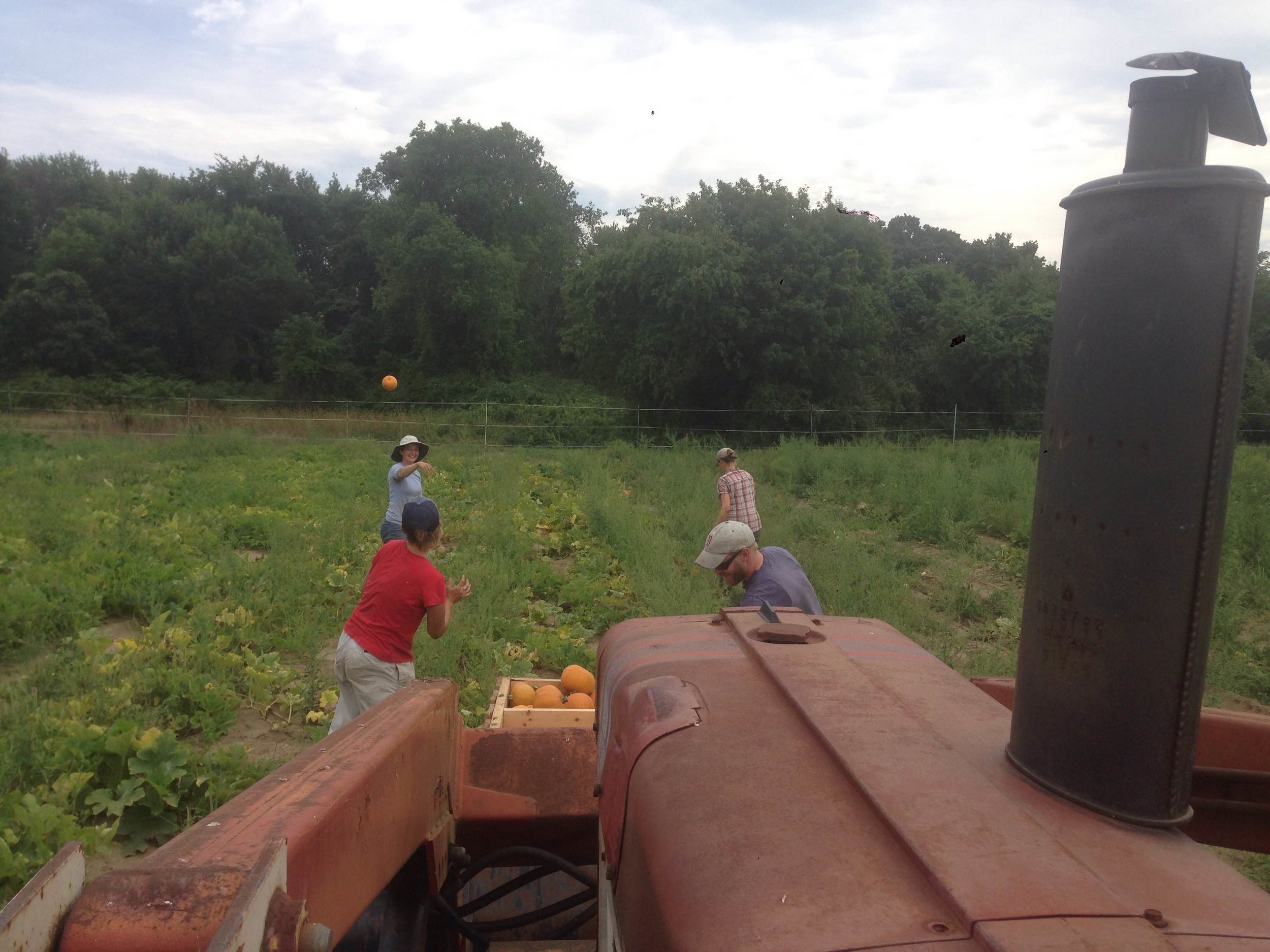 Winter squash harvest is one of our favorite late summer activities. One person drives the tractor with a bulk bin on the front forks while some of the crew picks up squash and tosses them to another crew member to transfer into the bulk crate. The bulk crates are then stored in the barn for a few weeks to let the squash cure.