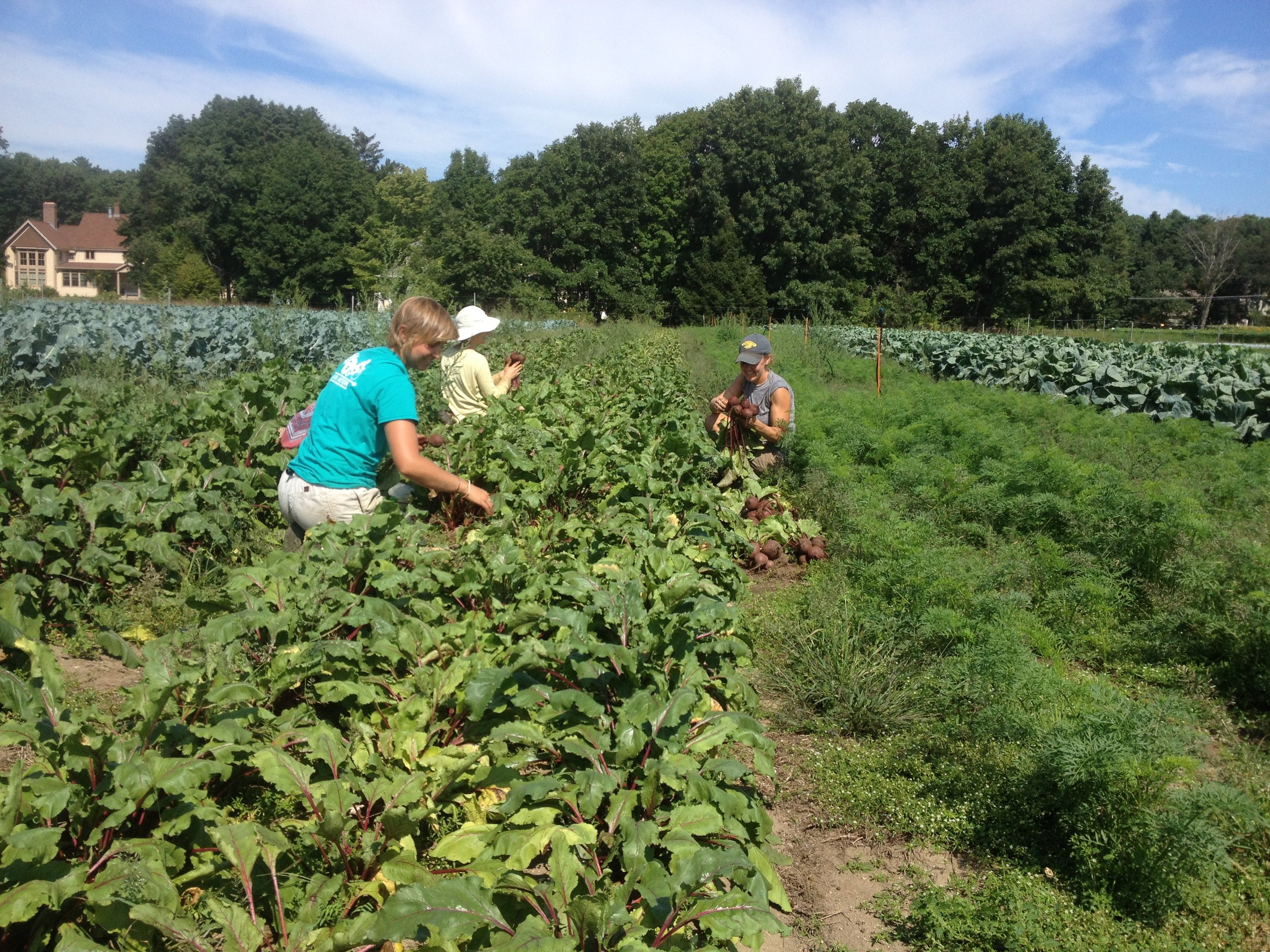 Wyatt, Rebecca and Melissa harvest beets for Ag Day