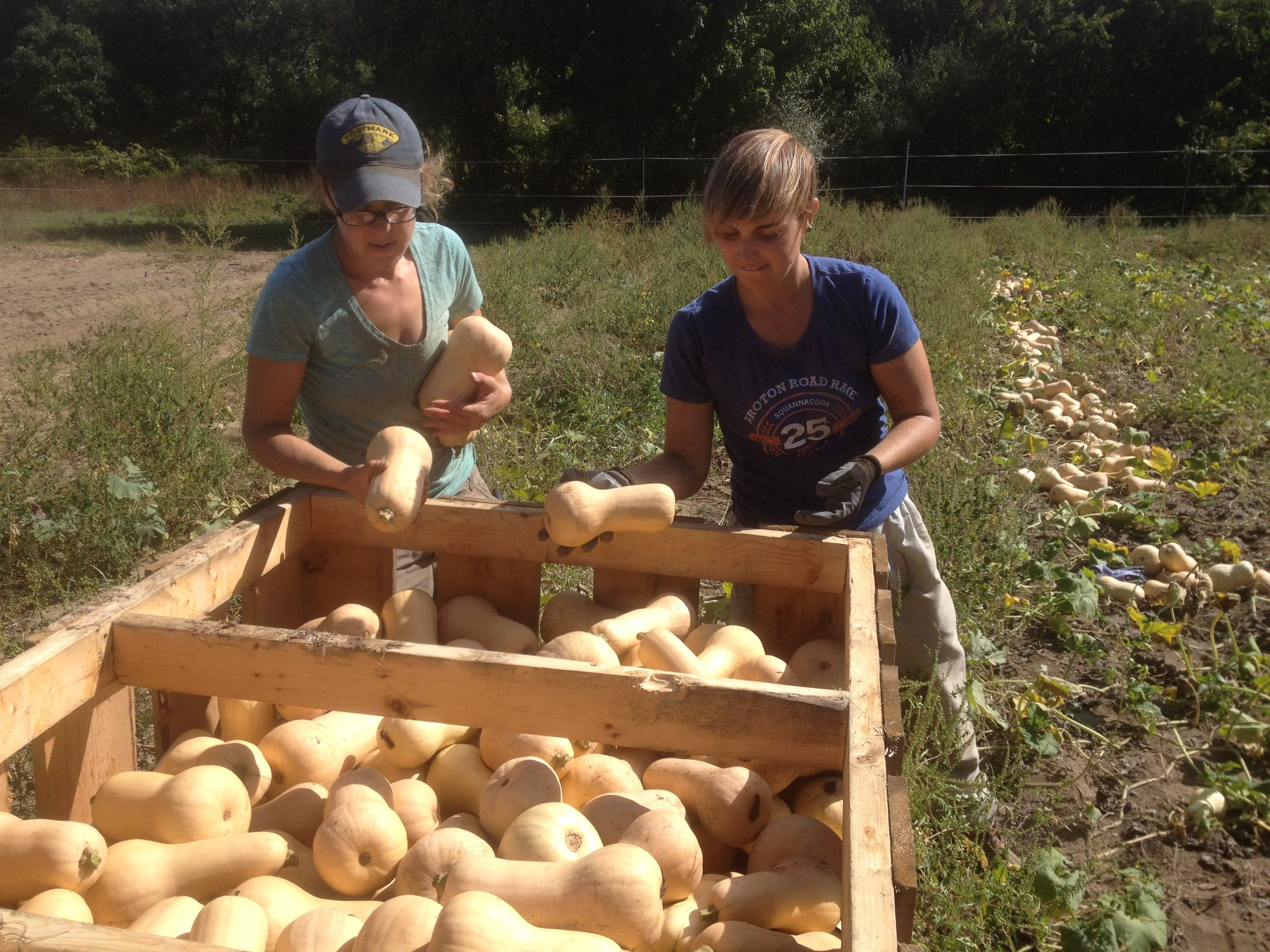 Melissa and Wyatt harvest butternut squash - it looks like an excellent harvest this year - we'll see them in the store and CSA soon after they've had a chance to cure in the barn!