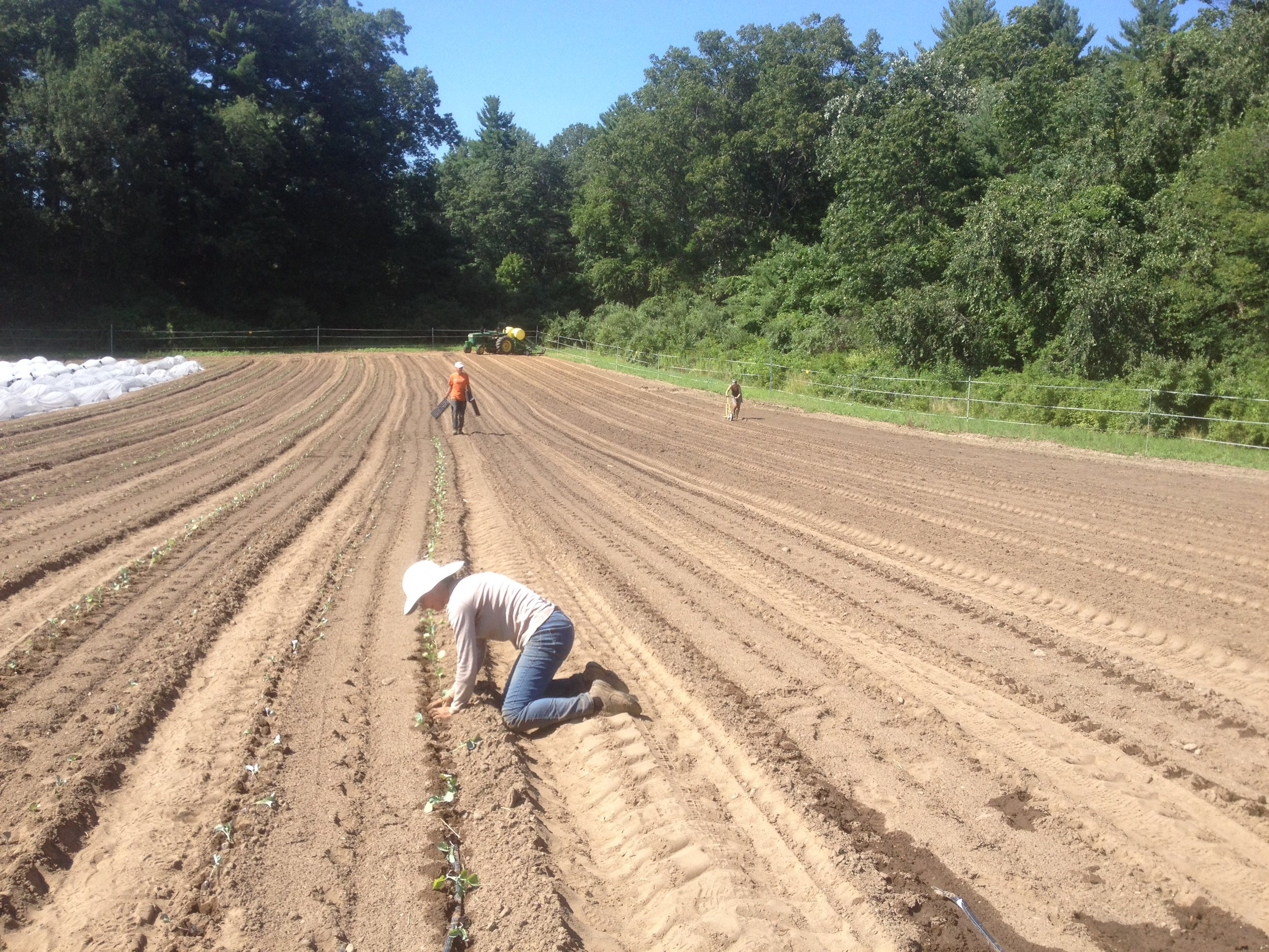 Planting fall broccoli and seeding fall carrots in our new field across the street.