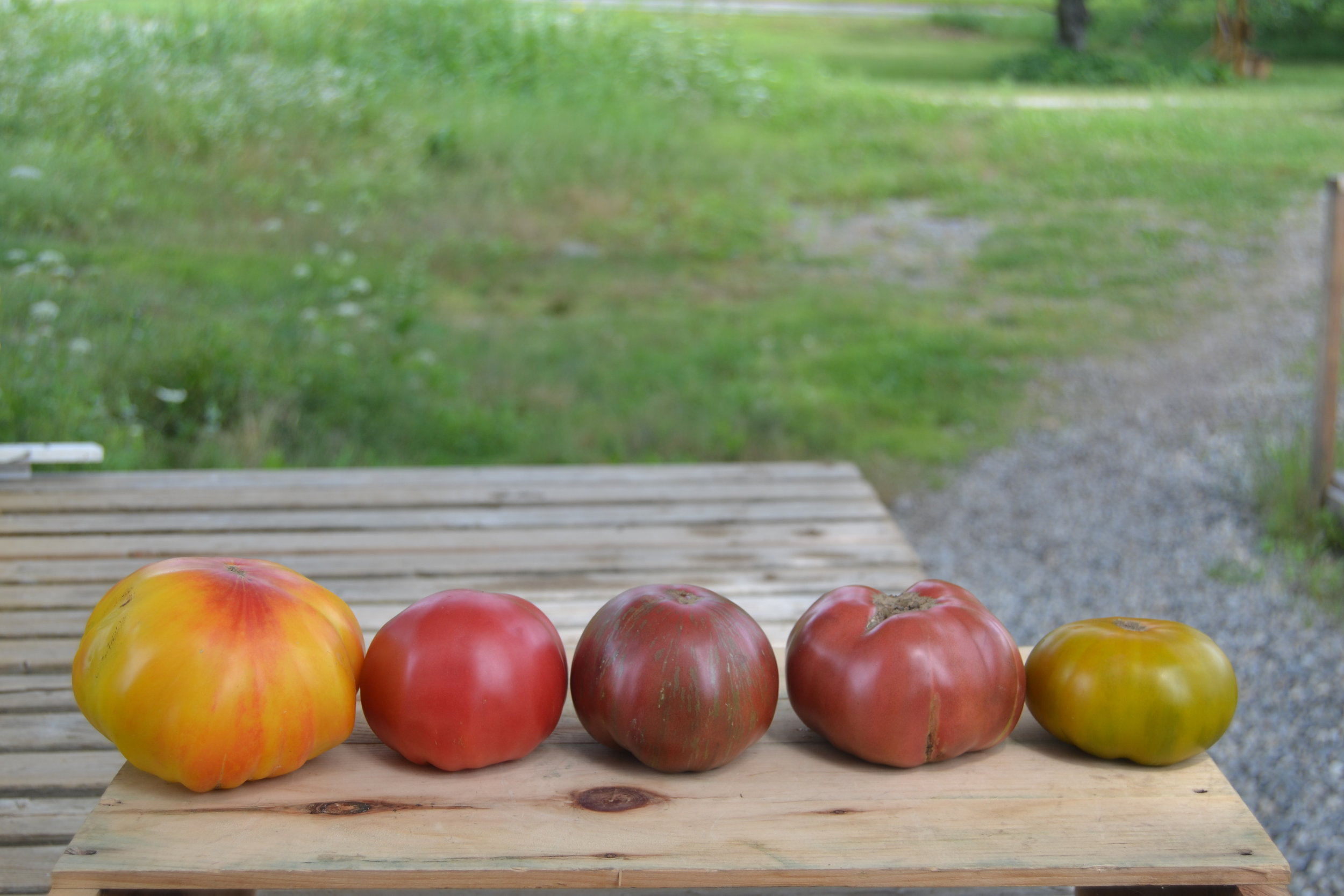 Left to right: Striped German, Pruden's Purple, Pink Berkeley Tie-dyre, Cherokee Purple, and Cherokee Green.