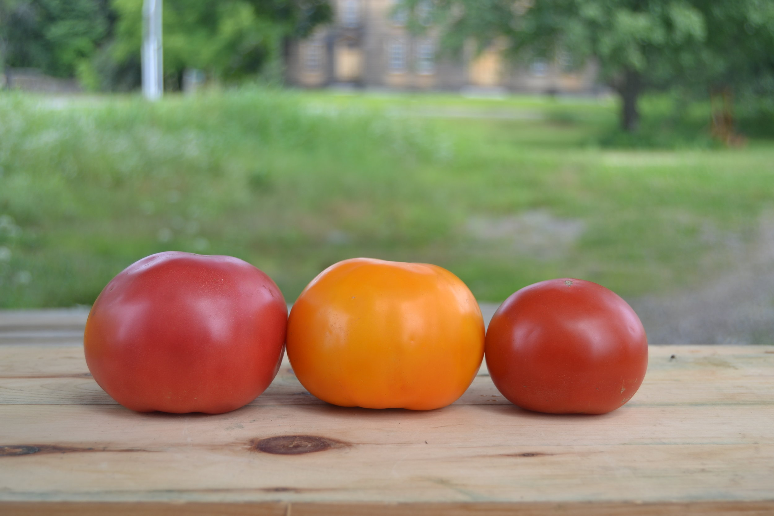 Left to right: Damsel, Chef's Choice Orange, Defiant