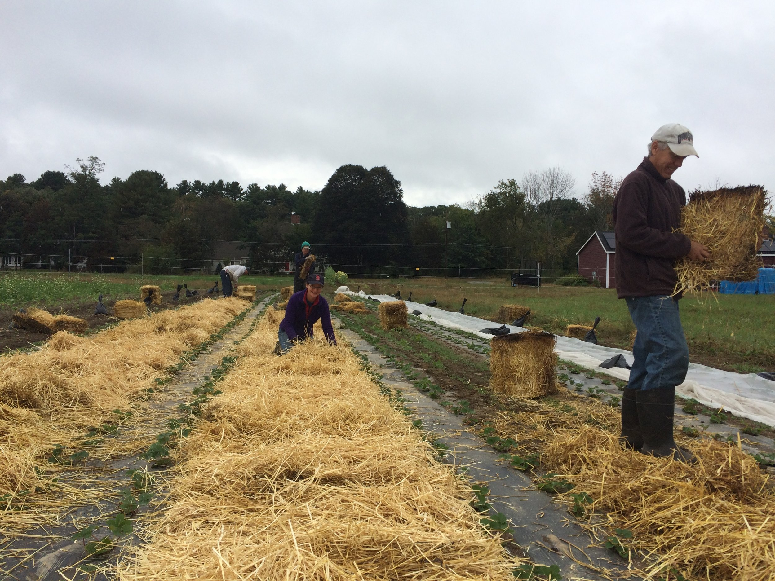 The crew mulches the pathways for next year's strawberries.