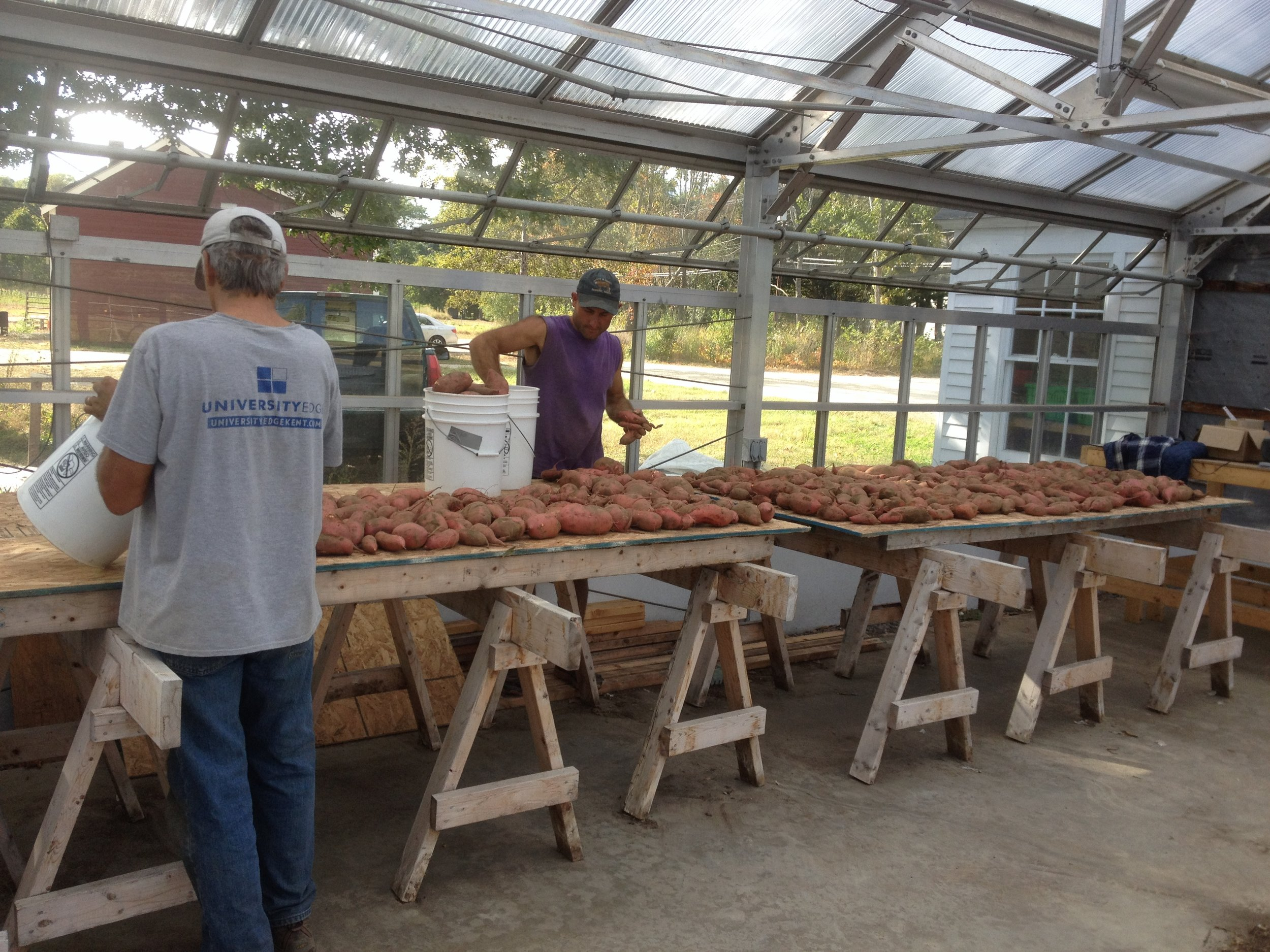 Dave and Shaun laying out sweet potatoes to cure for this year's Late Fall CSA.
