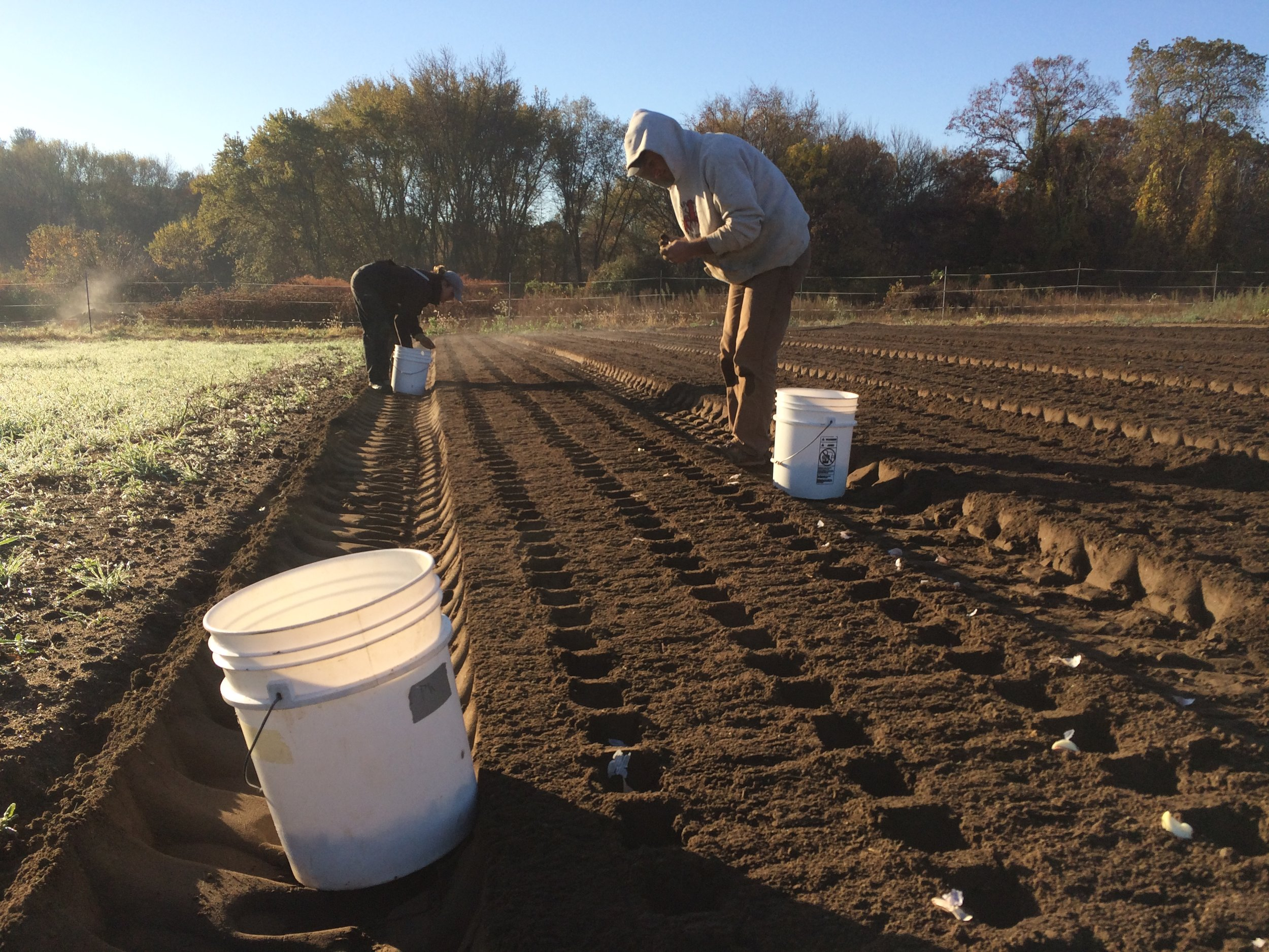 Shaun and Lise plant garlic on Saturday with some lingering morning mist.