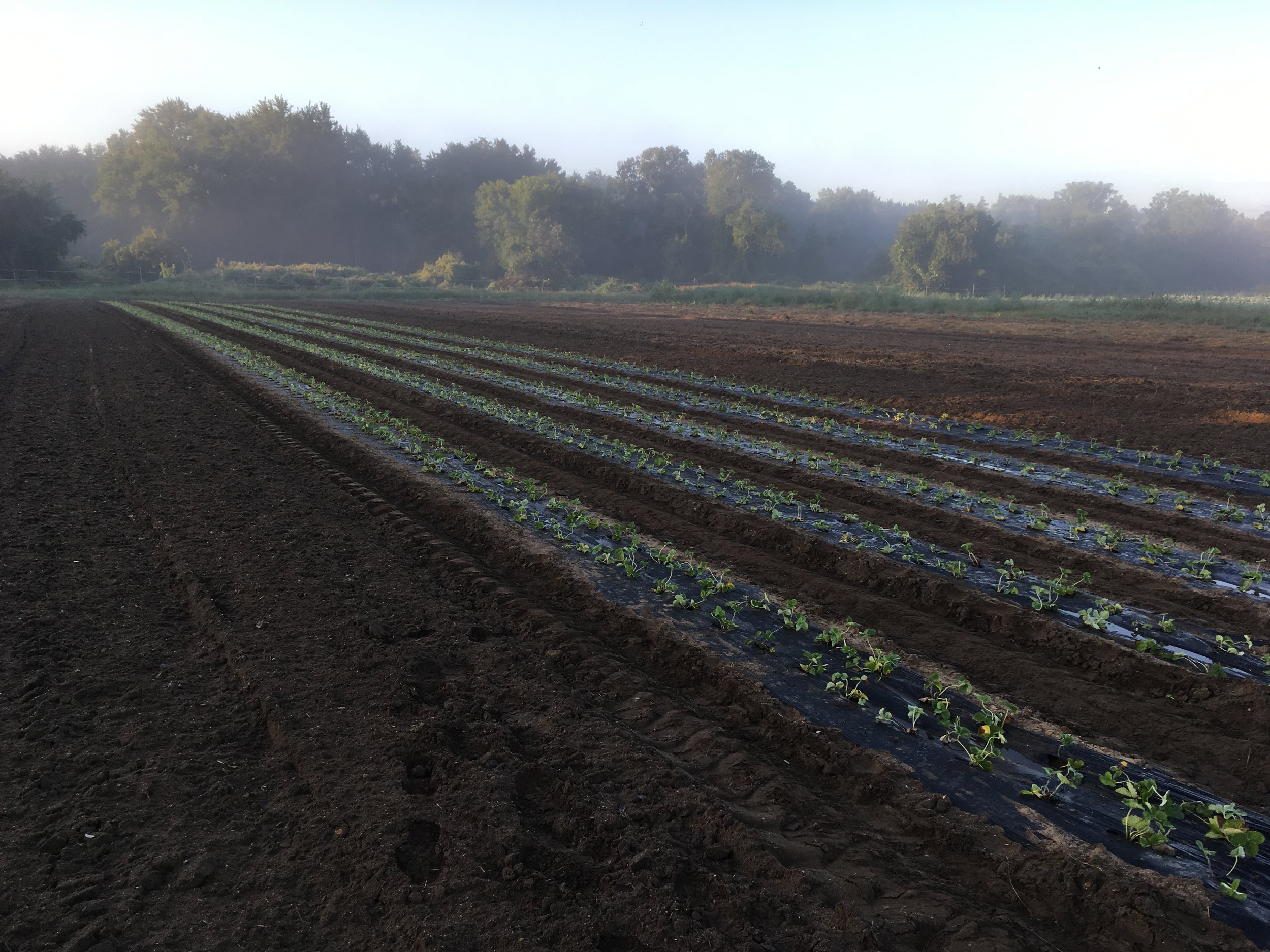 A view of our fall-planted strawberries and the last bits of the Sunday morning fog.