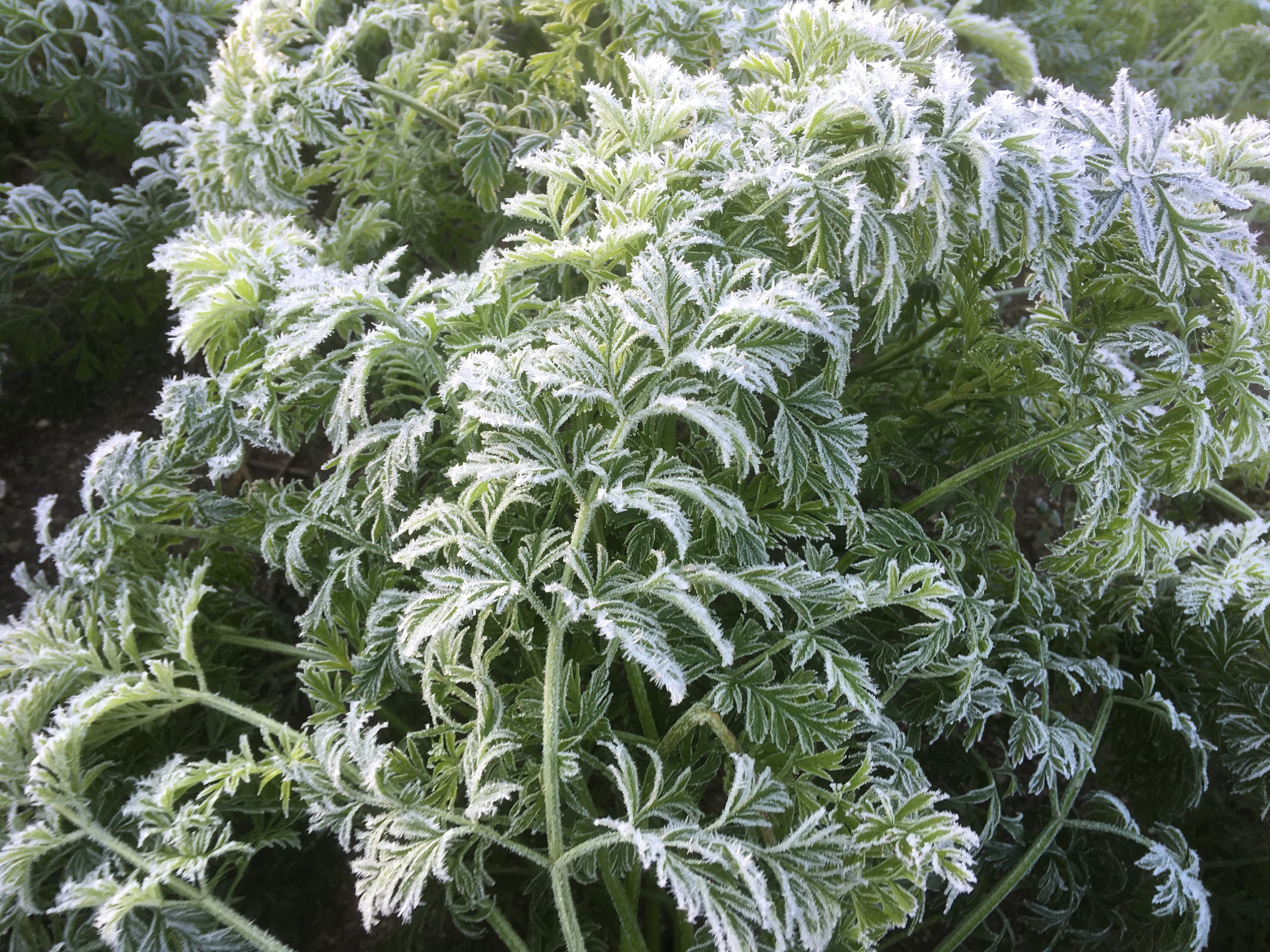 Frosty carrot tops mean sweet roots!