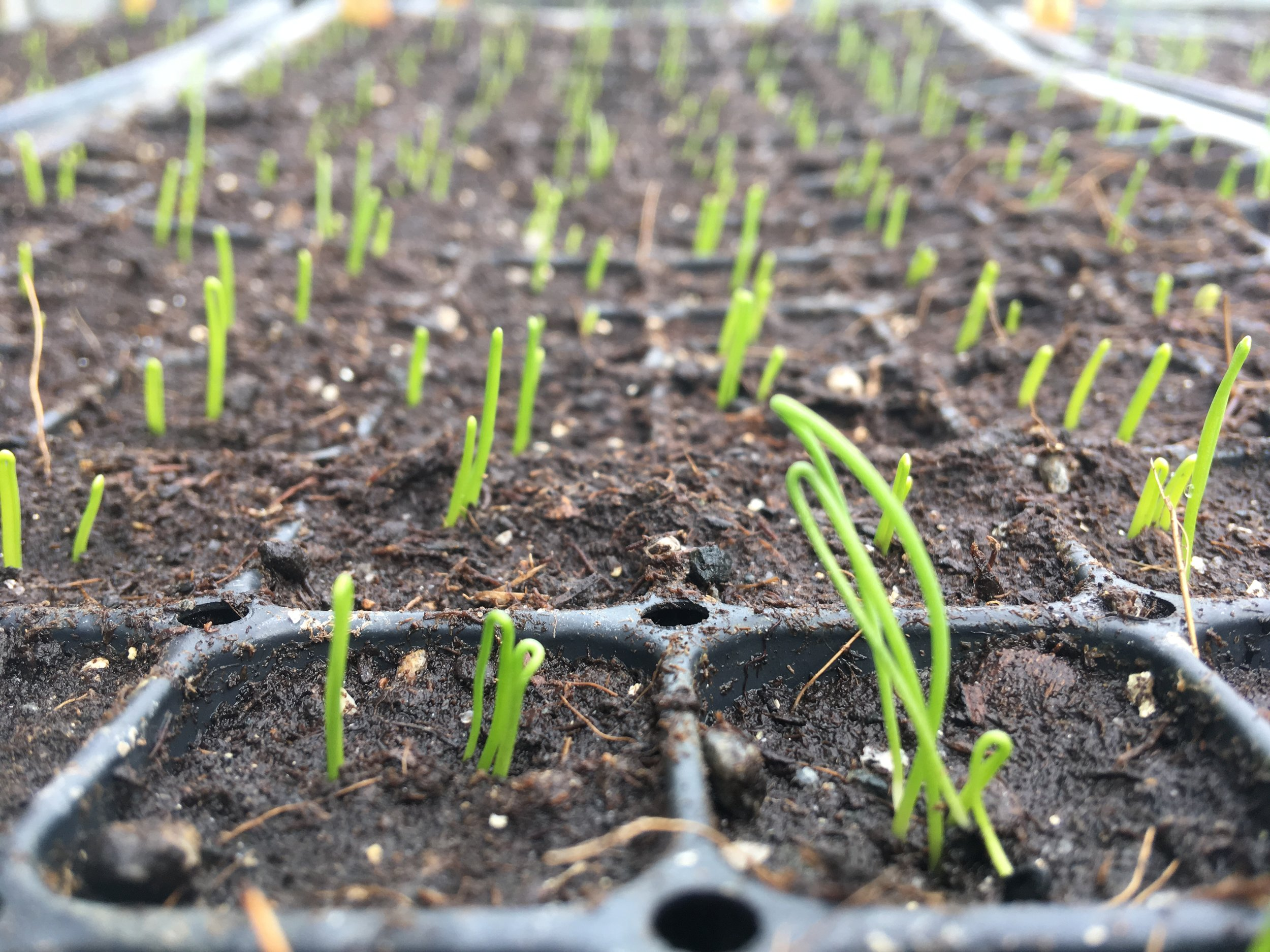 Scallions shoots popping up in the greenhouse.