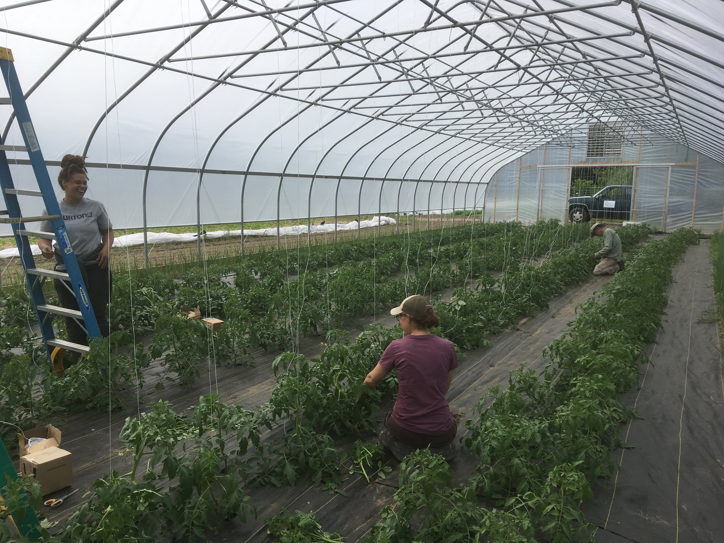 Sarah, Melissa and Brian work on trellising tomato plants in our new hoophouse!