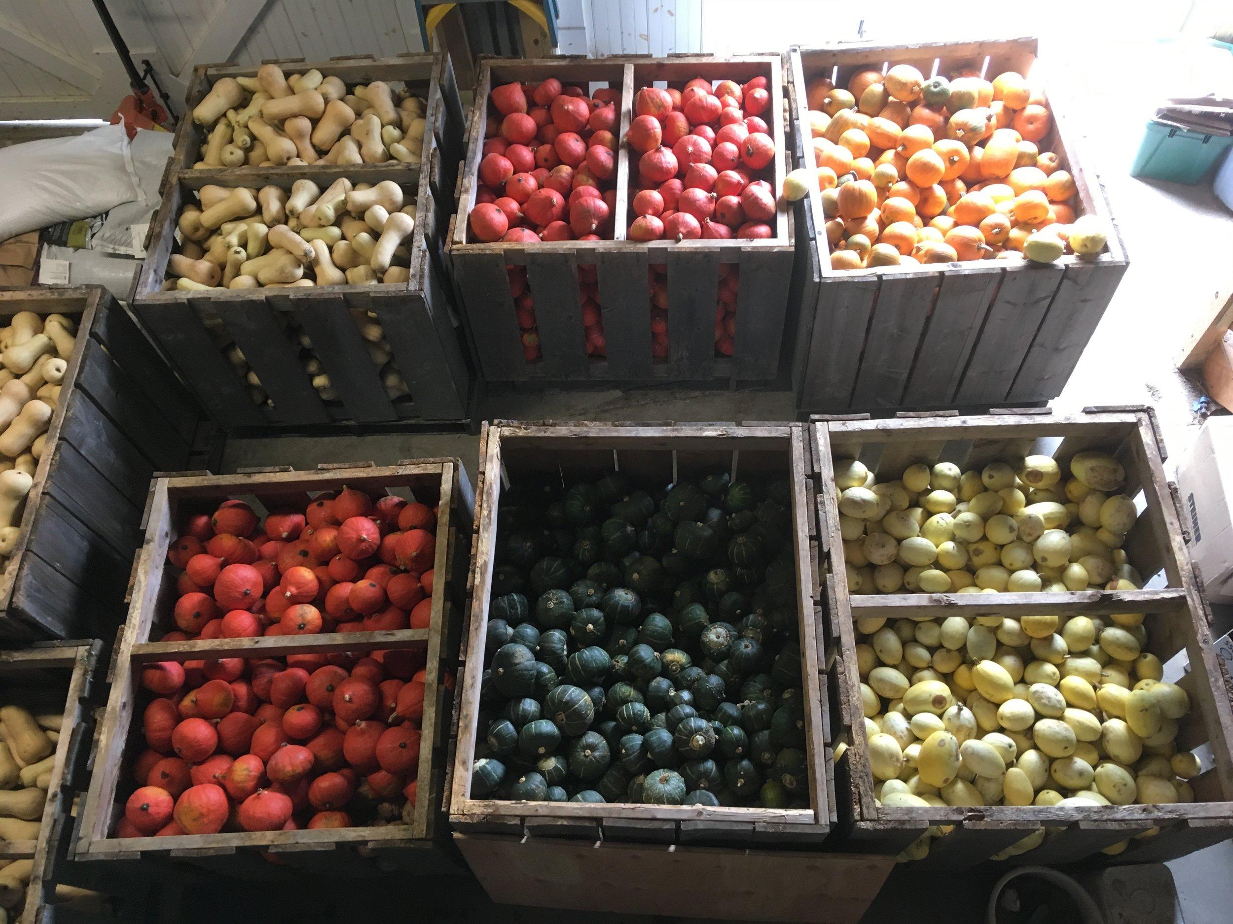 Red Kuri, butternut, buttercup, pumpkins and spaghetti squash stored