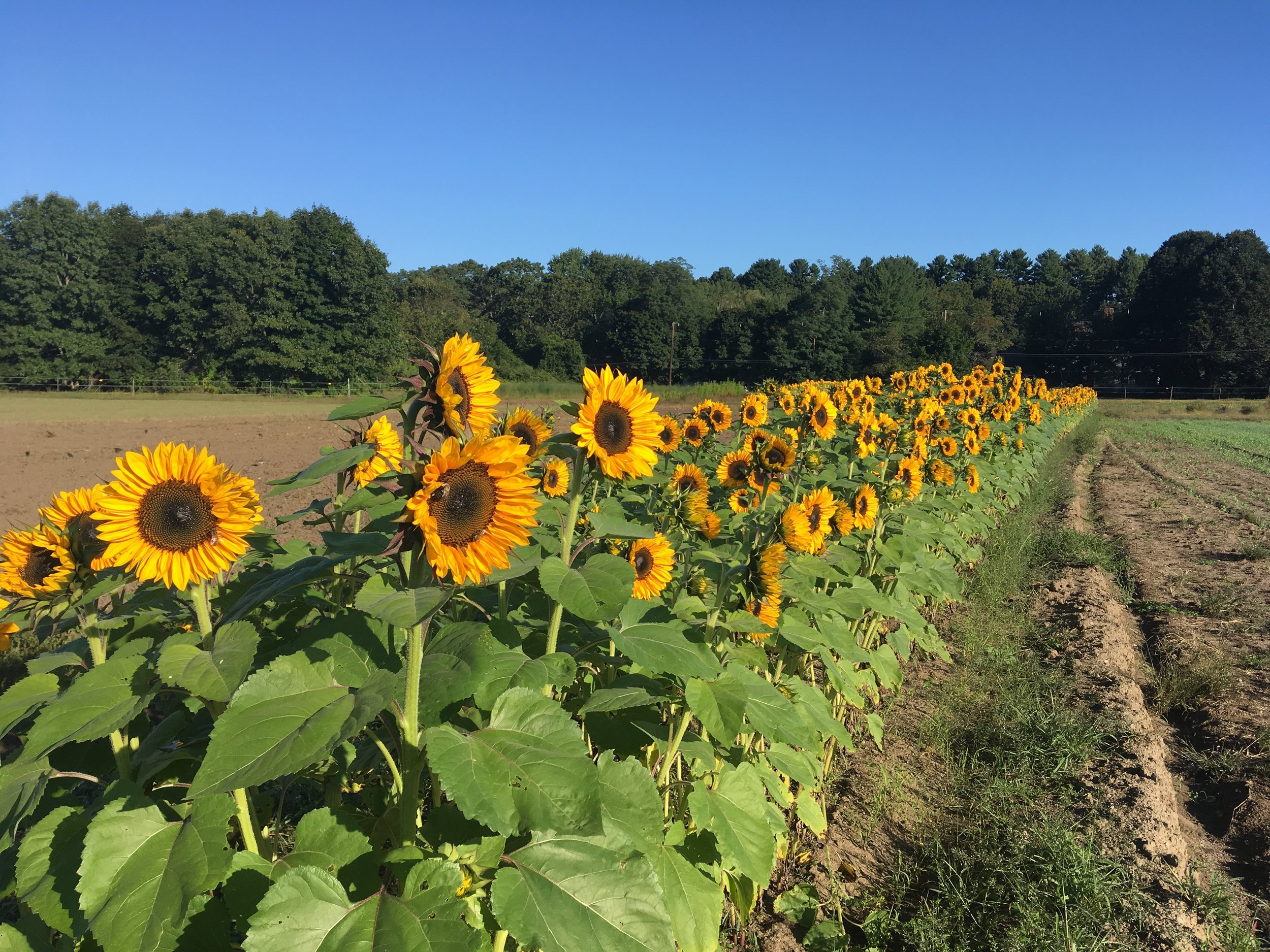 Sunflowers are back in the CSA and store!