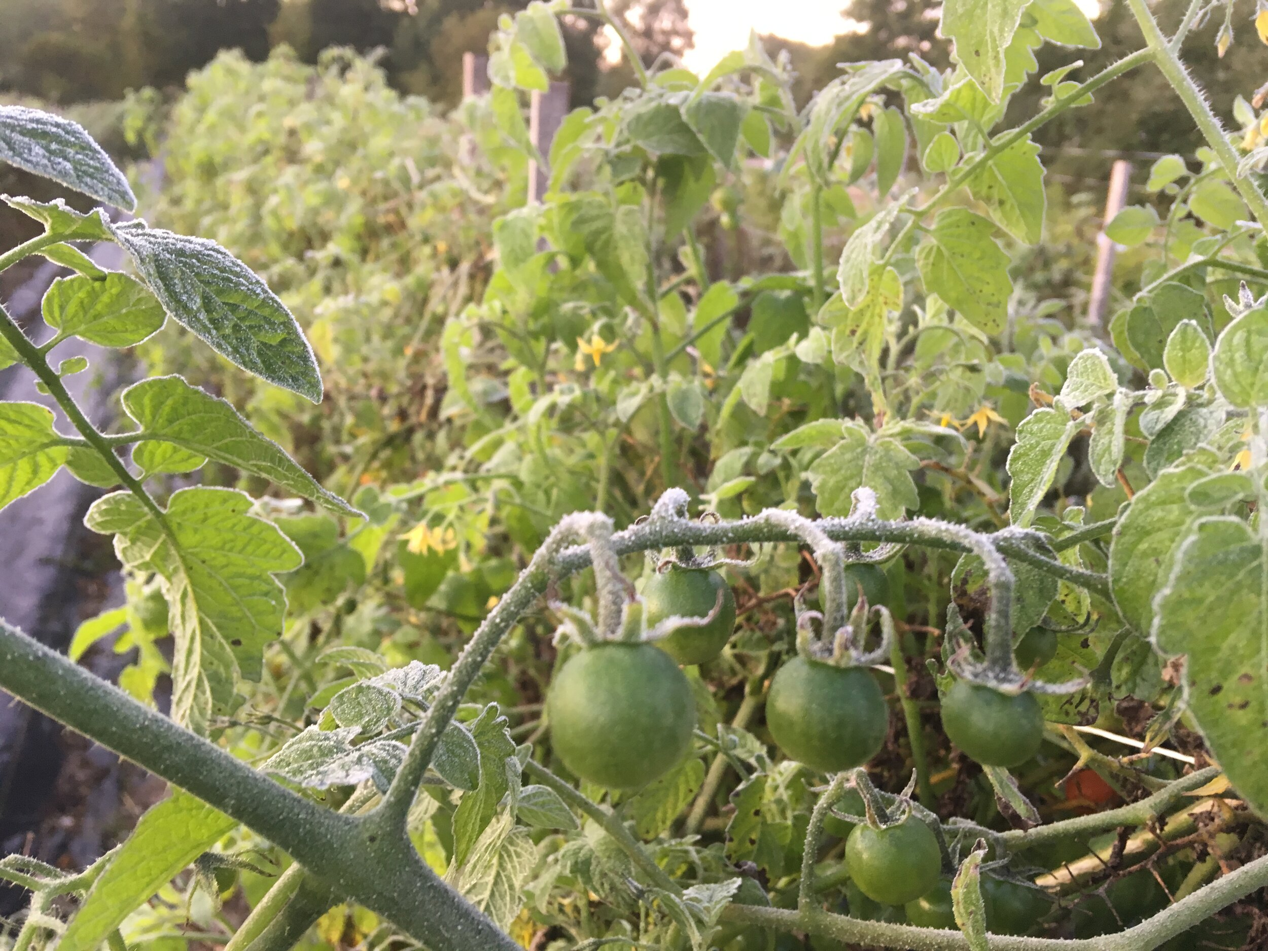 Frost in the cherry tomatoes on Saturday morning.