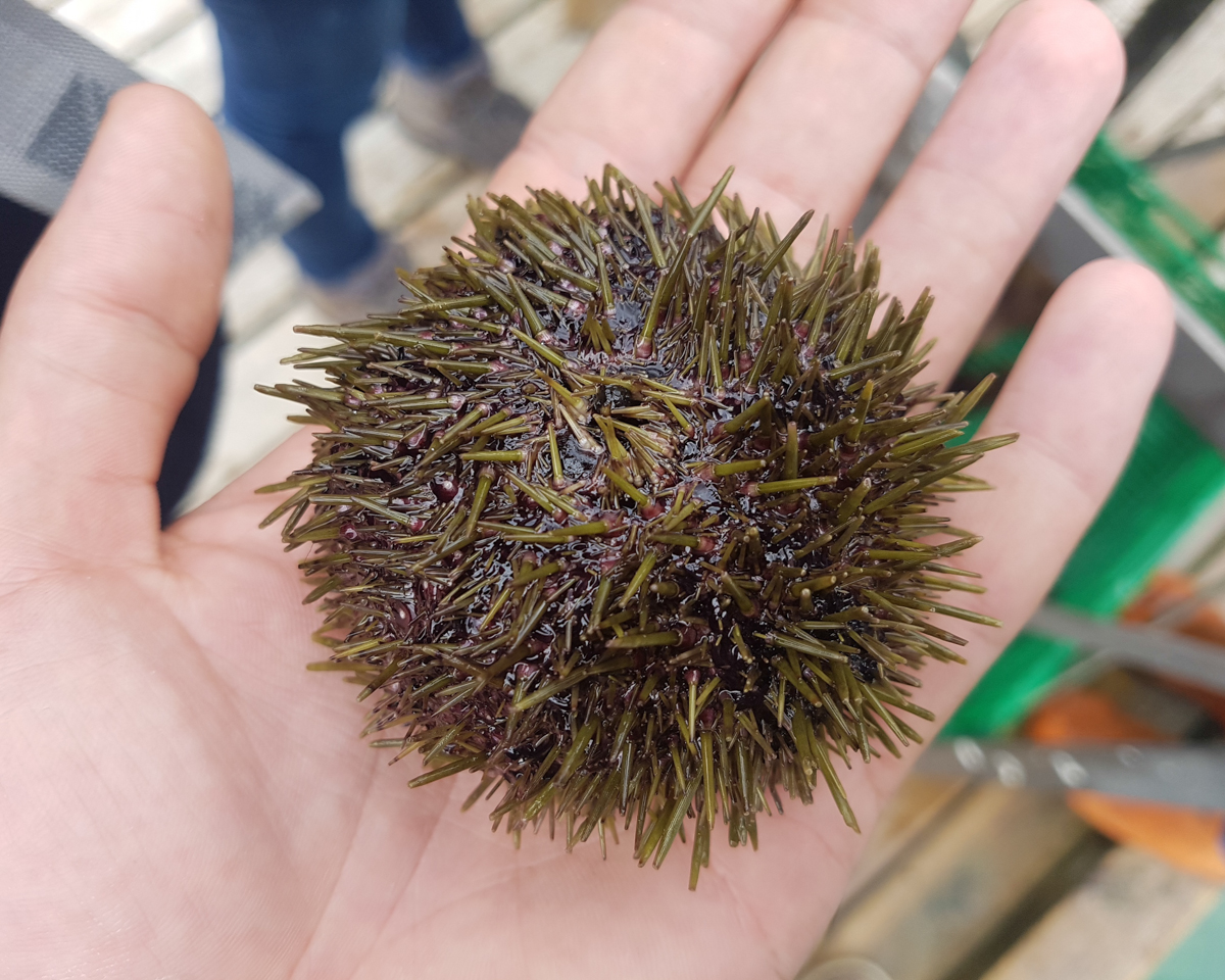 Eating sea urchins with Roddie Sloan Nordskot, Norway, September