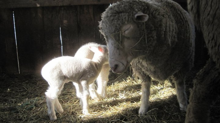 Twin lambs with their mother