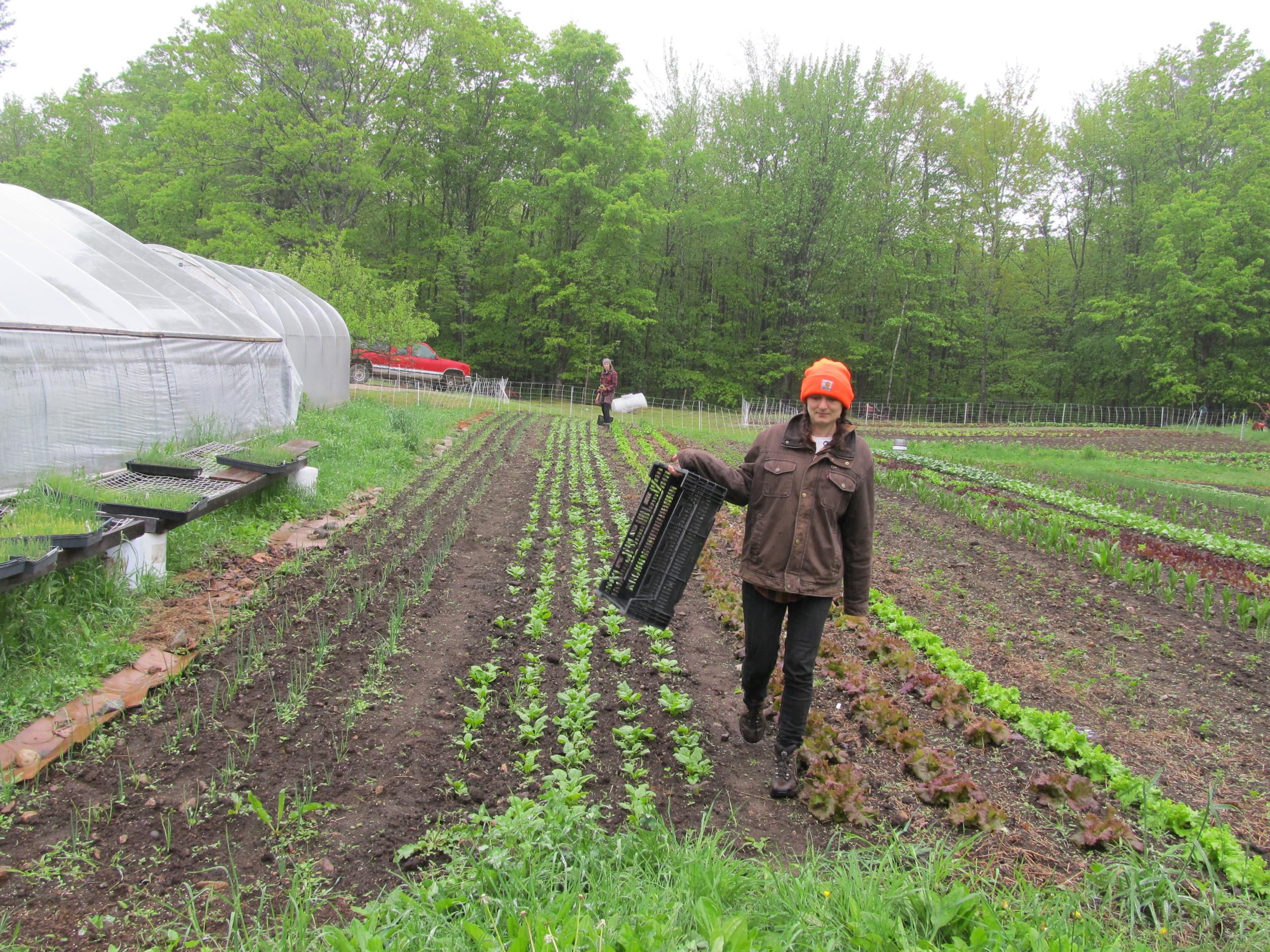 Abigail harvesting lettuce