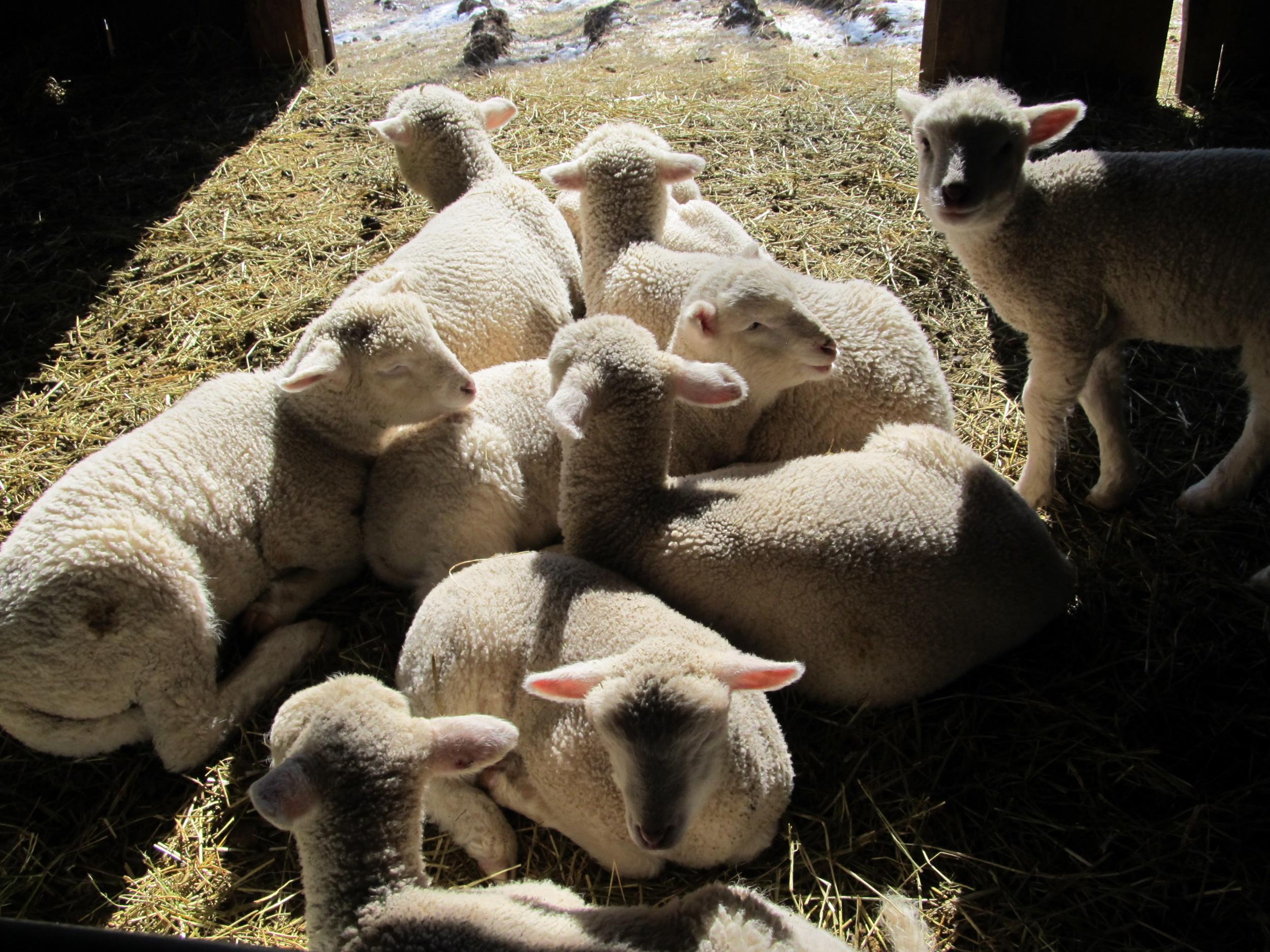 Lambs in the sun