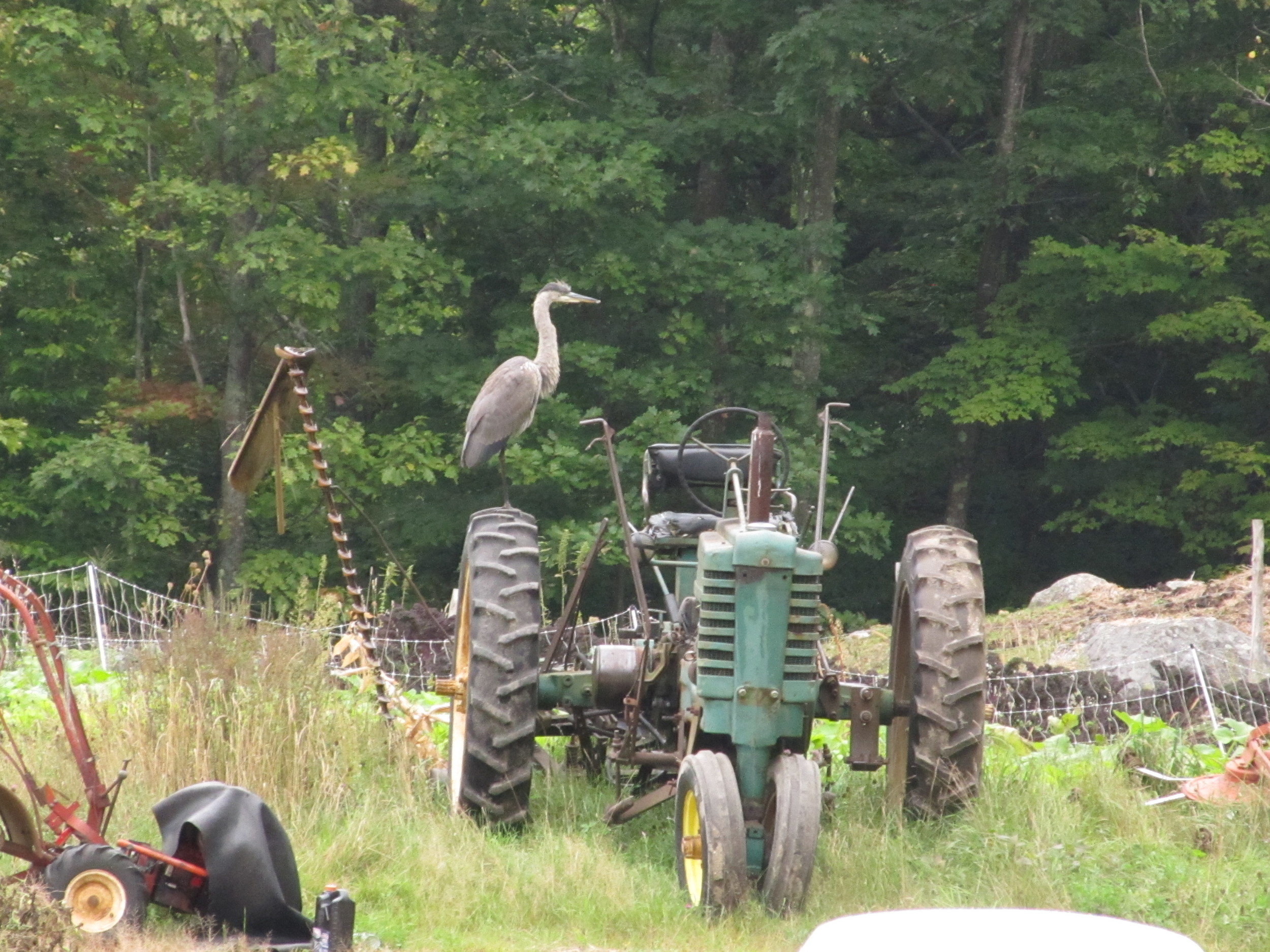 Great Blue Heron on tractor