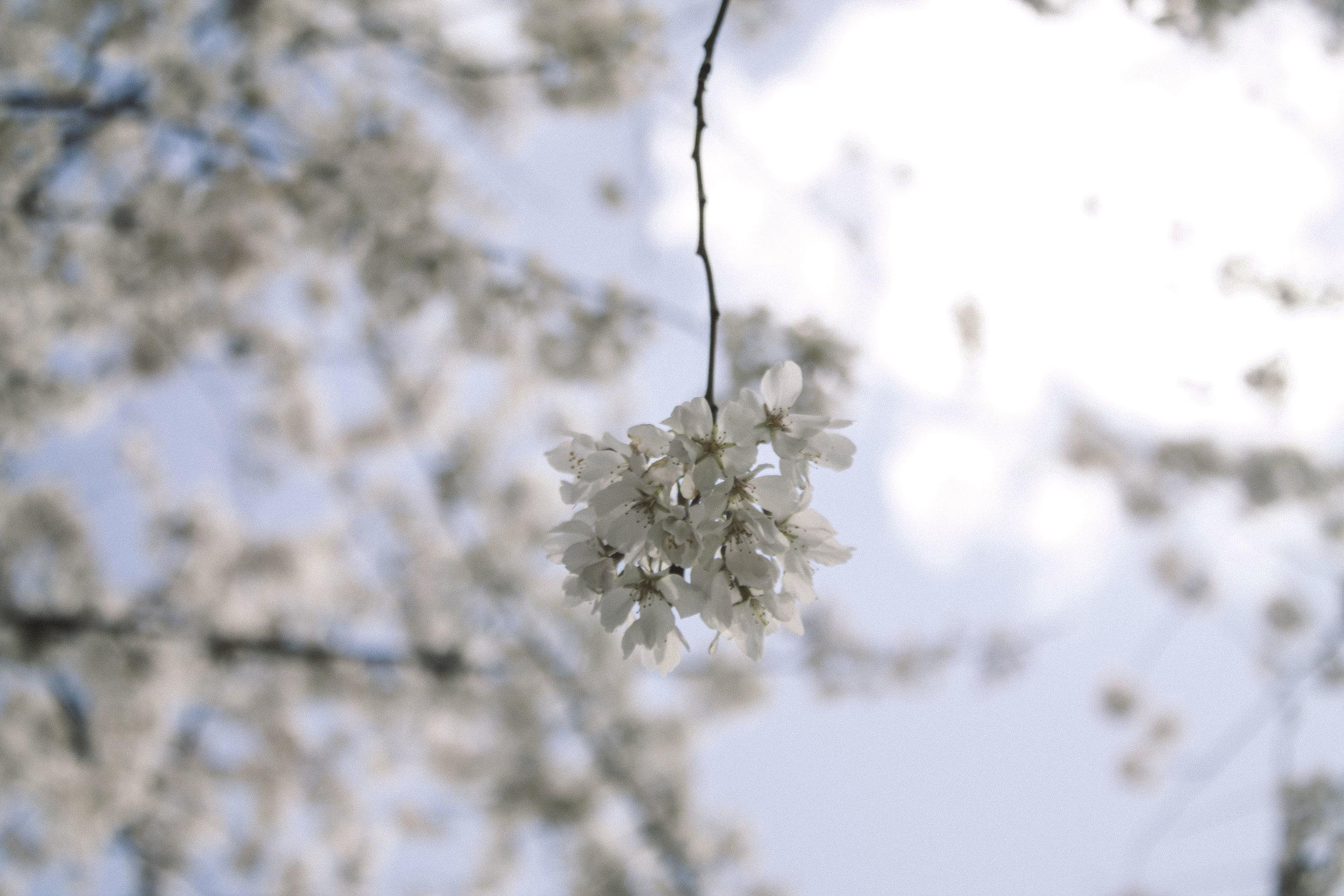 Cherry blossoms, Washington, DC