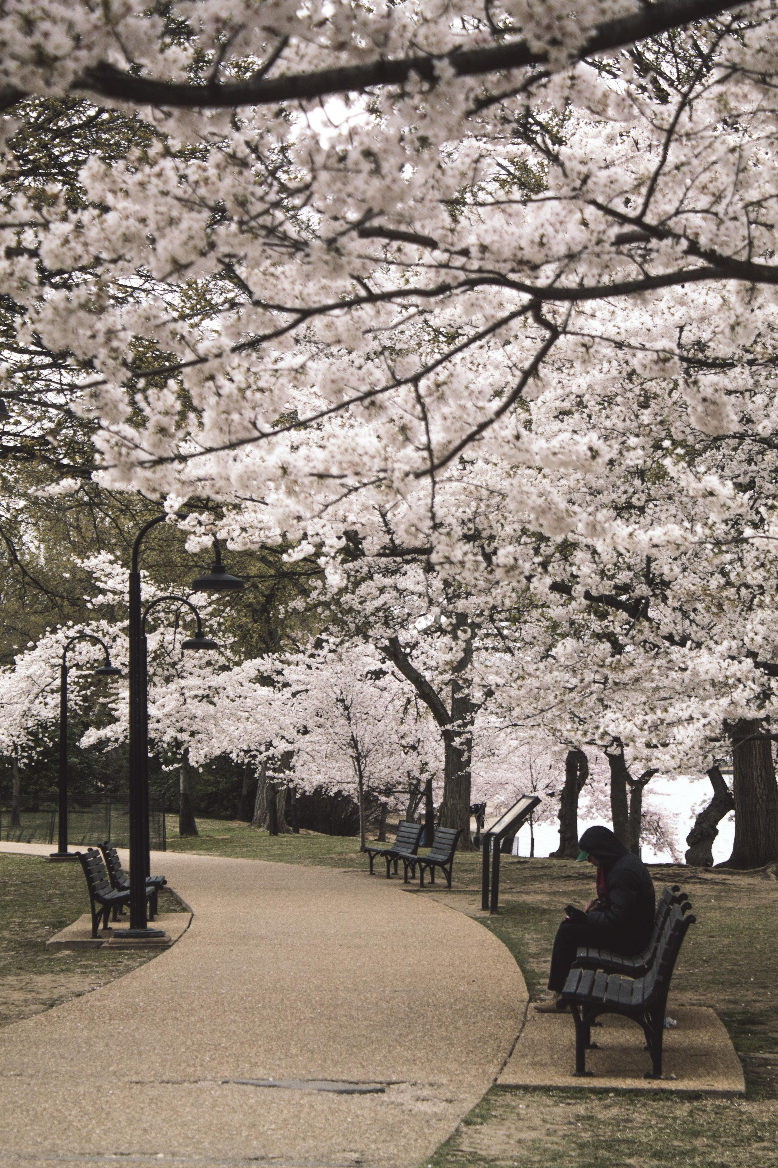 Cherry blossoms along DC's Tidal Basin