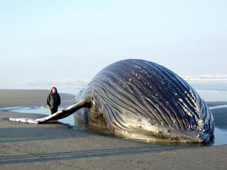 beached humpback.jpeg