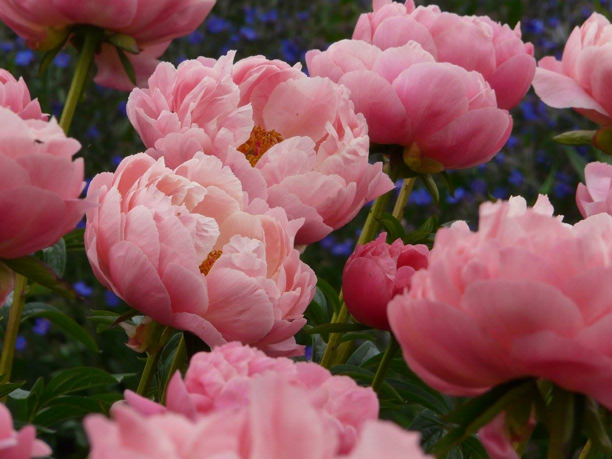 Everything is going to be ok if there are peonies in the world.