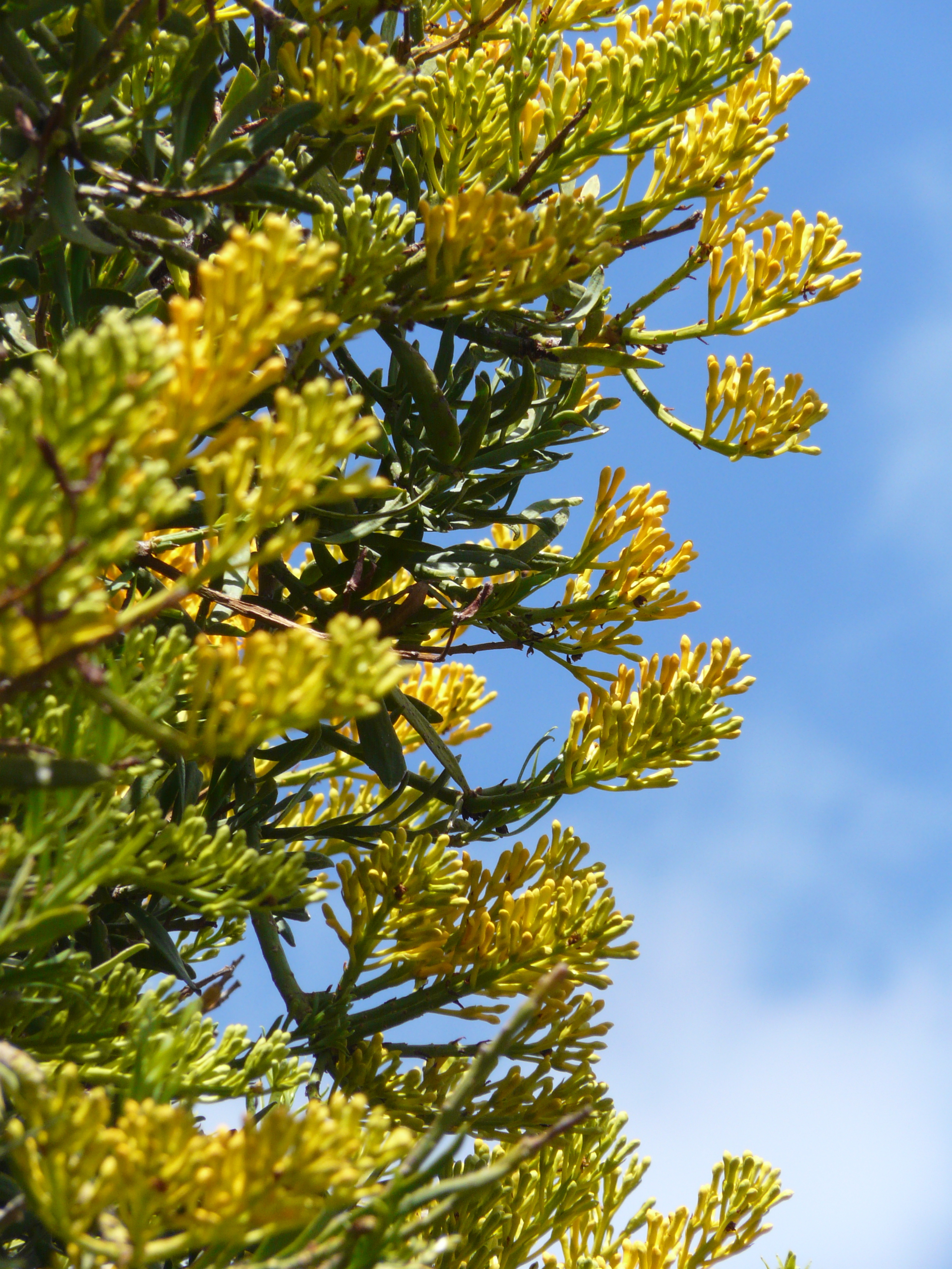 Nuytsia floribunda , just starting to open.