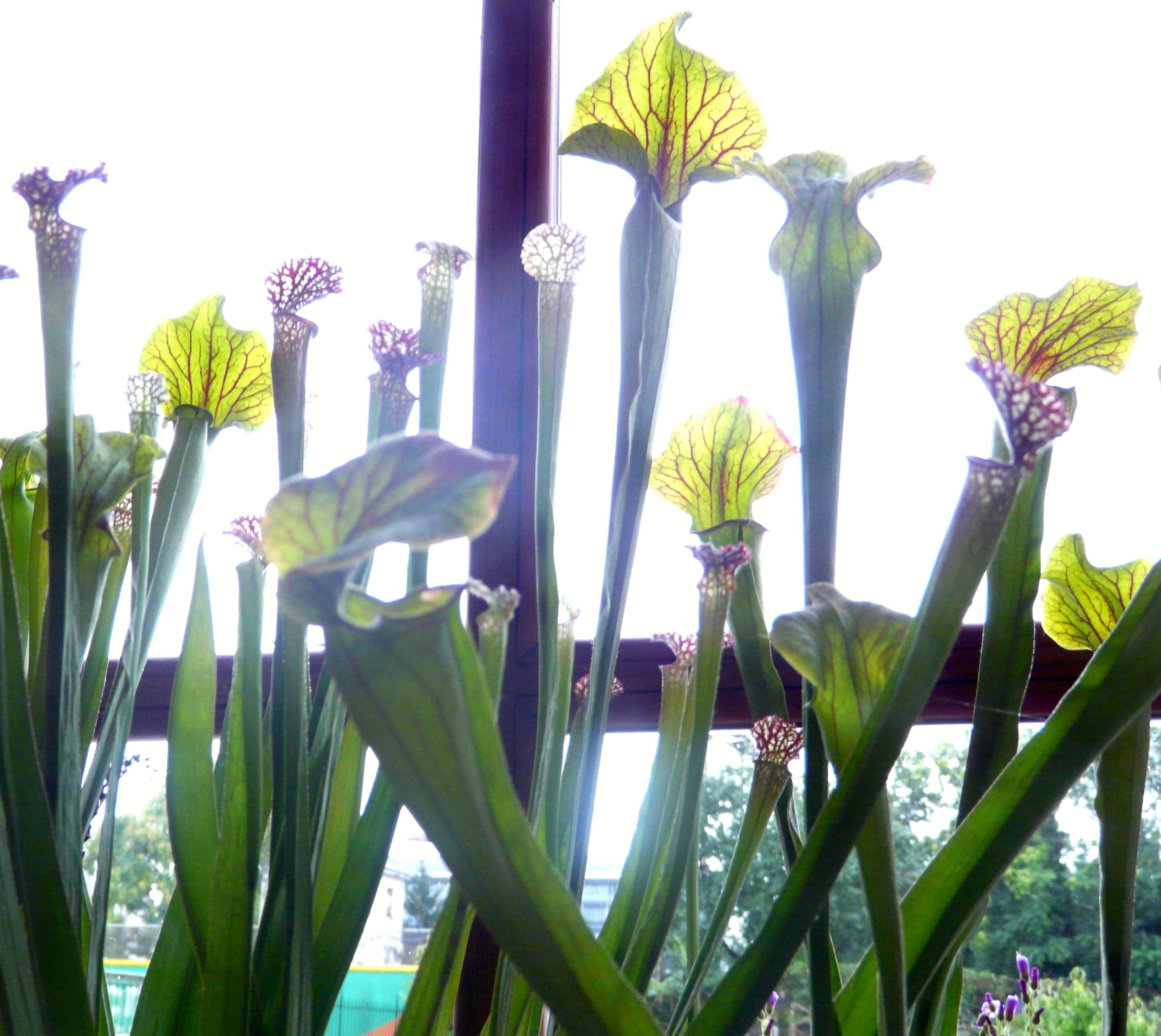 A bunch of very cool pitcher plants.