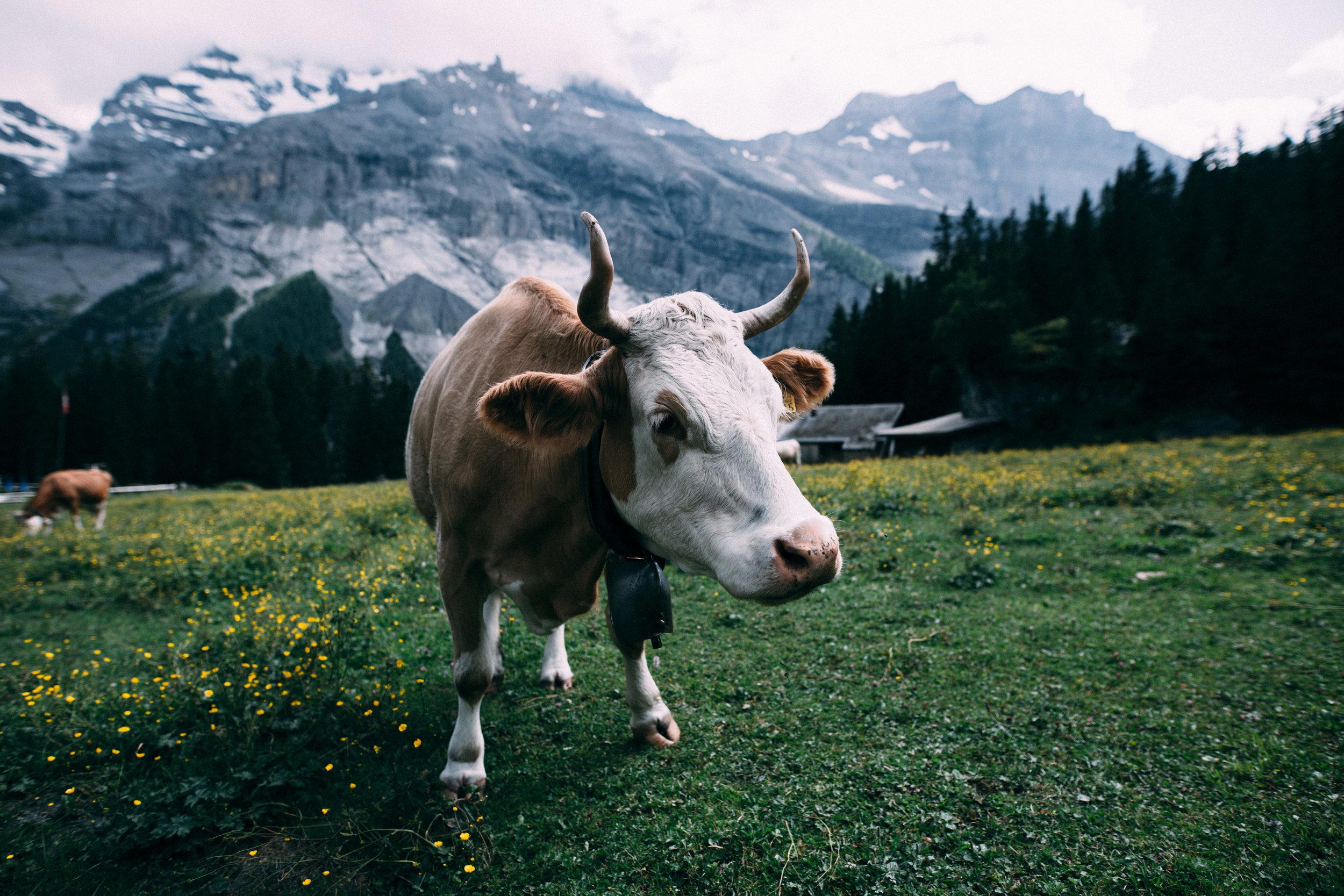 Why Grass-Fed Beef - Holisticole