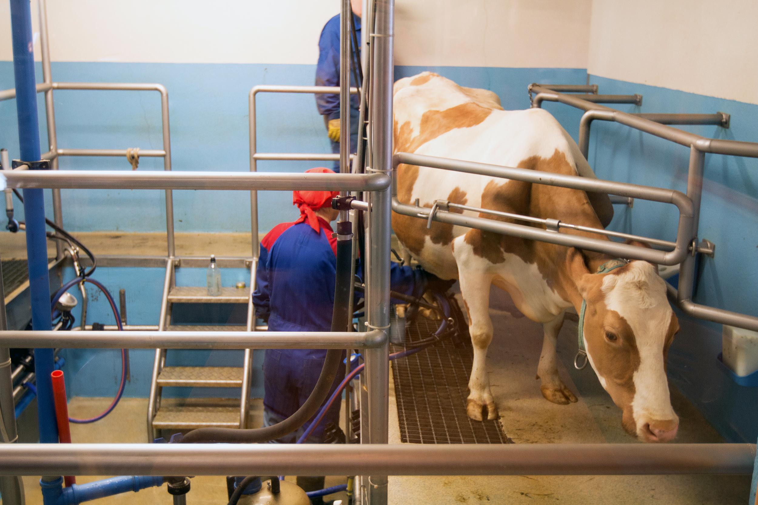 Milking time at Vogafjós Guesthouse