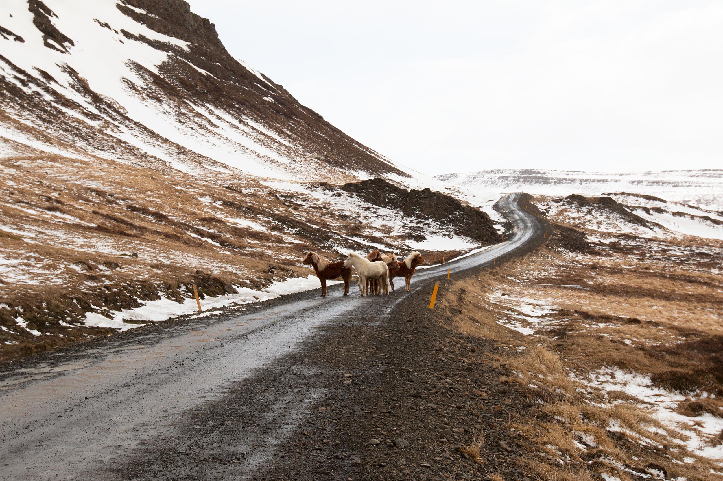 Traffic jam in the Westfjords