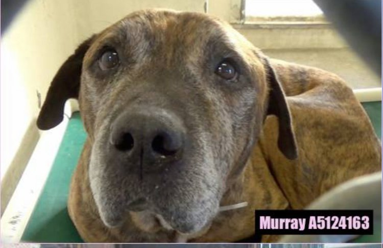 Murray was 12 years old and dumped in a high-kill shelter with advanced Lymphoma. We rescued him and gave him love and care until he crossed the Rainbow Bridge peacefully and with dignity.