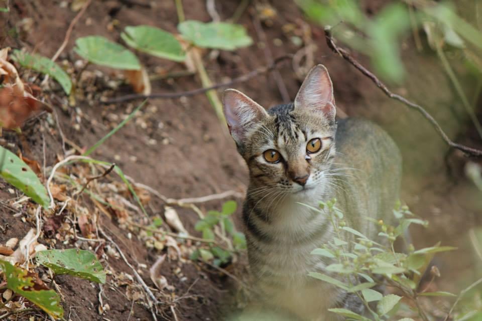 Stray Cat in Costa Rica