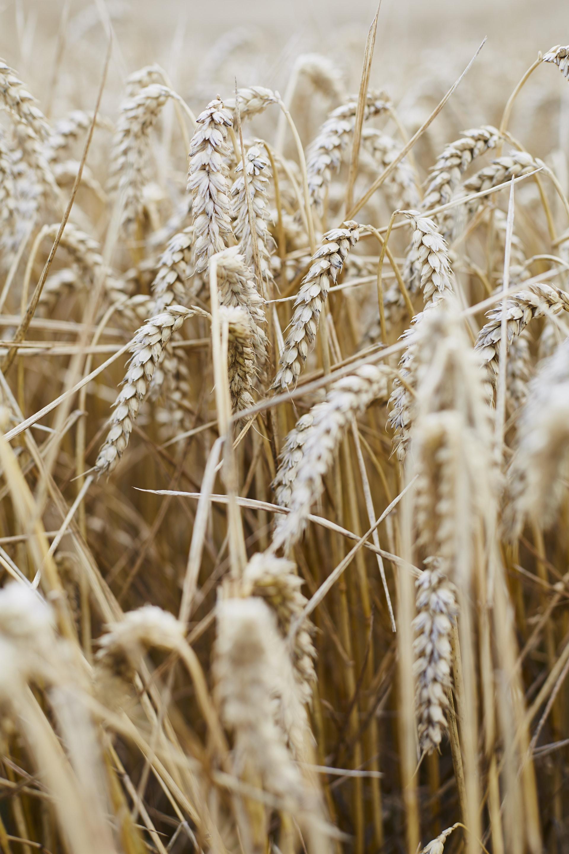 Maldon harvest