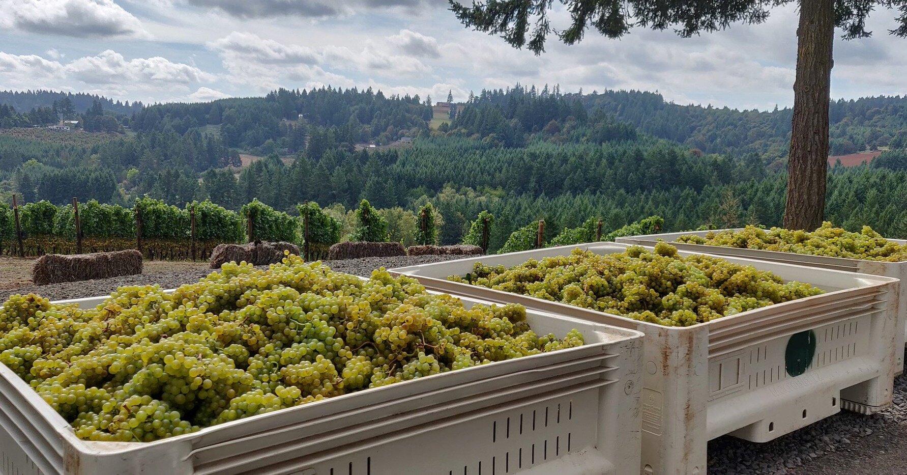 Chardonnay harvest at Anderson Family Vineyard