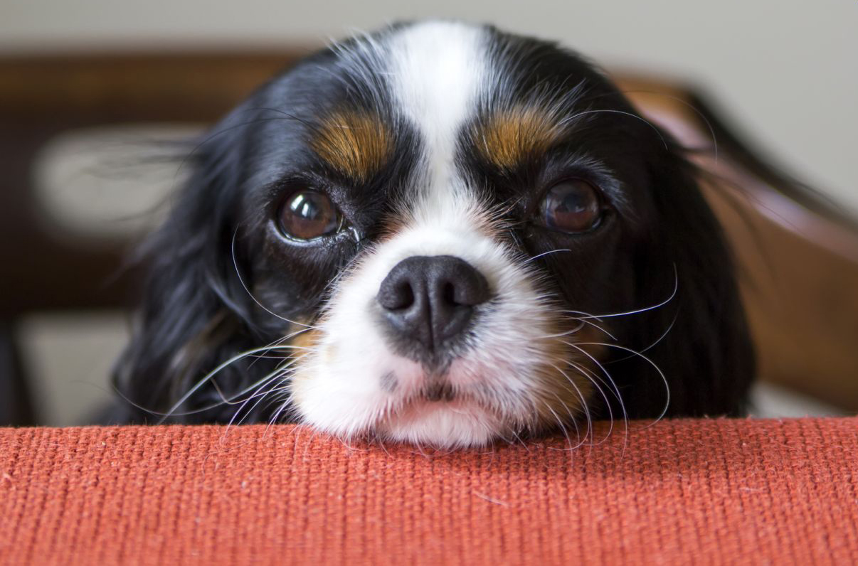 Cavalier-King-Charles-Spaniel-eyes.jpg