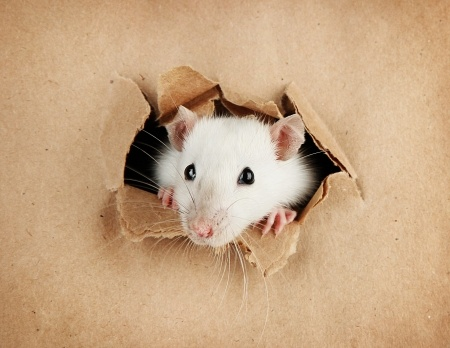 Rats can teach humans something about communications. Rats, like humans, are wary of anything new, so the best communications should be onfamiliar turf.