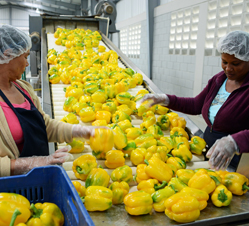 Weis-Buy Farms Inc. is expanding its Dominican Republic greenhouse pepper deal. The marketer and growers' agent has tripled the number of loads of colored bell peppers it ships from the Caribbean country.