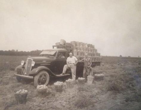 Potato Harvest 1940's