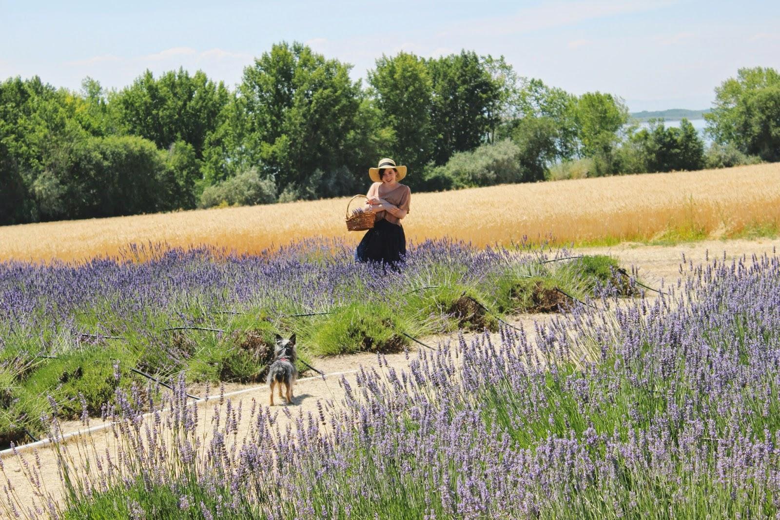 pippin+in+lavender.jpg