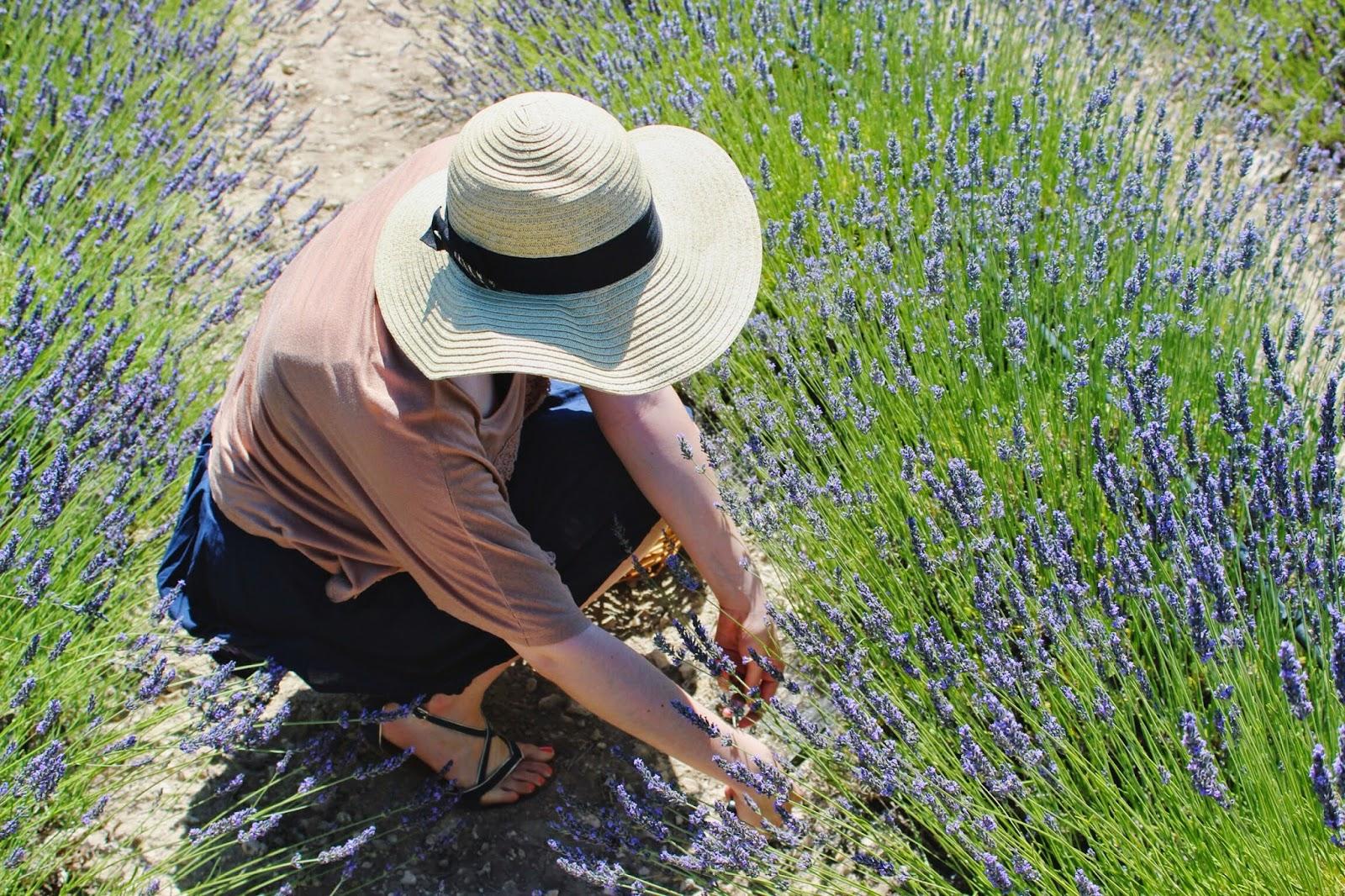 cutting+lavender.jpg