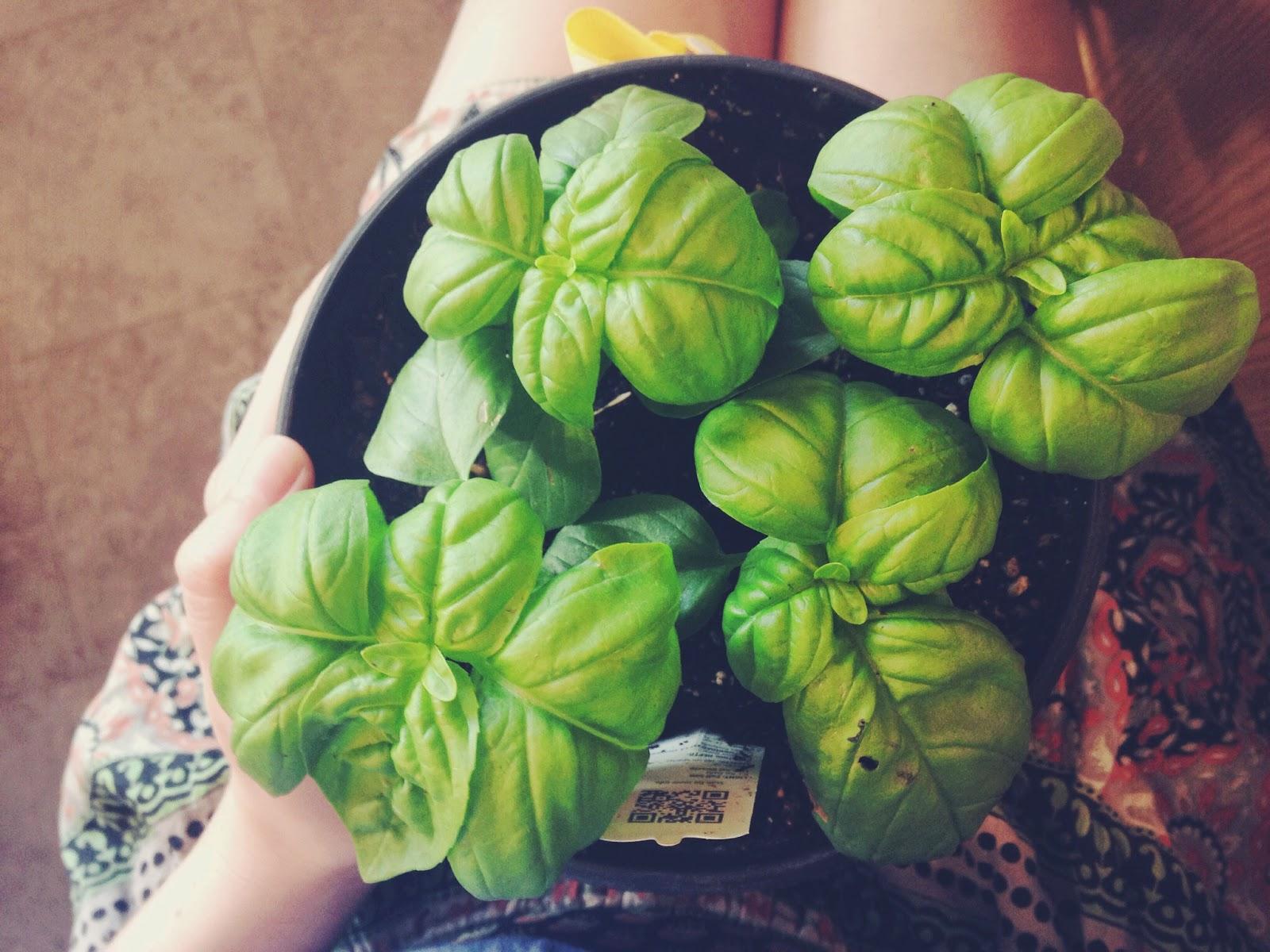 basil+plant.jpg
