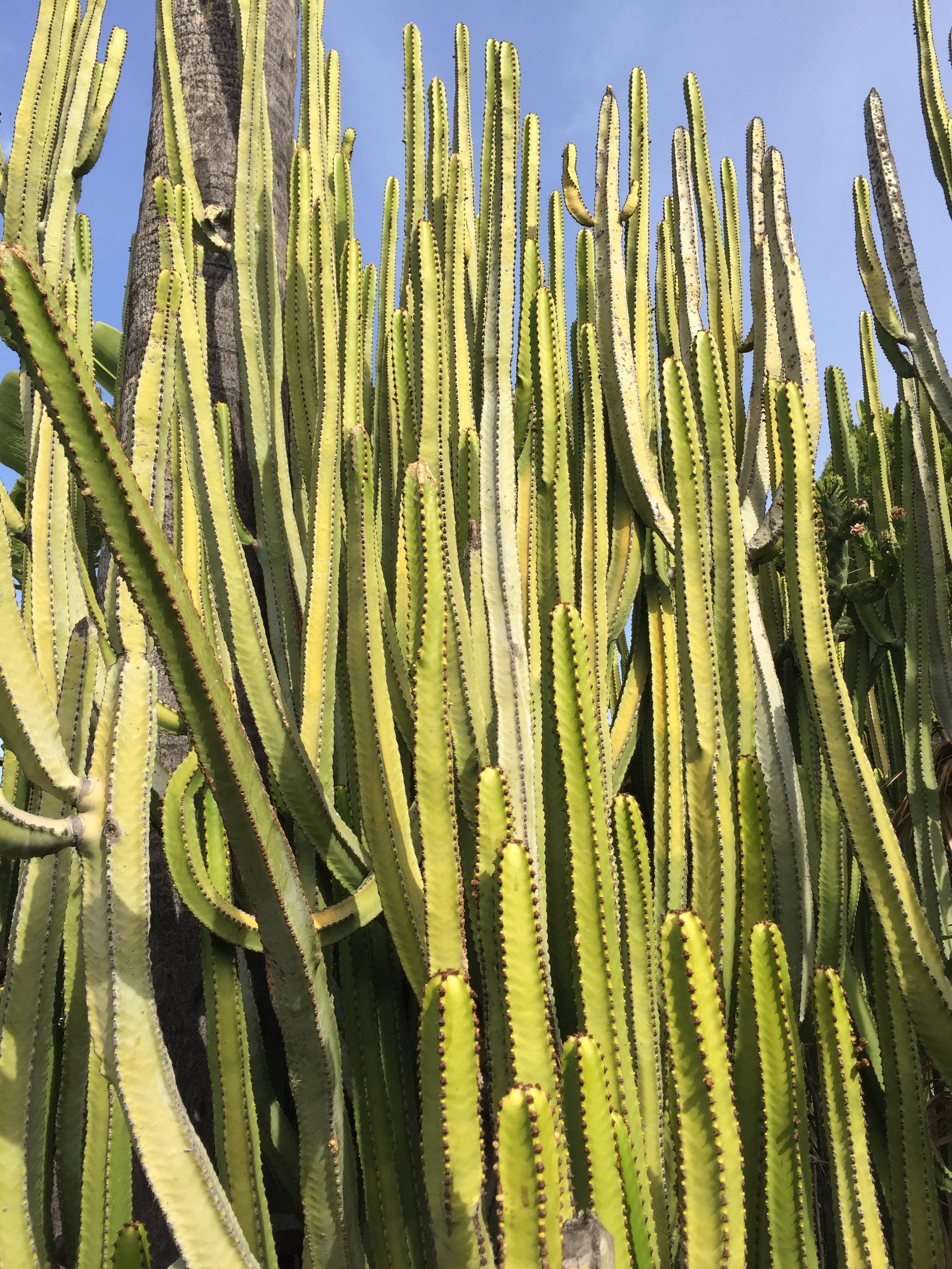 LA cactus