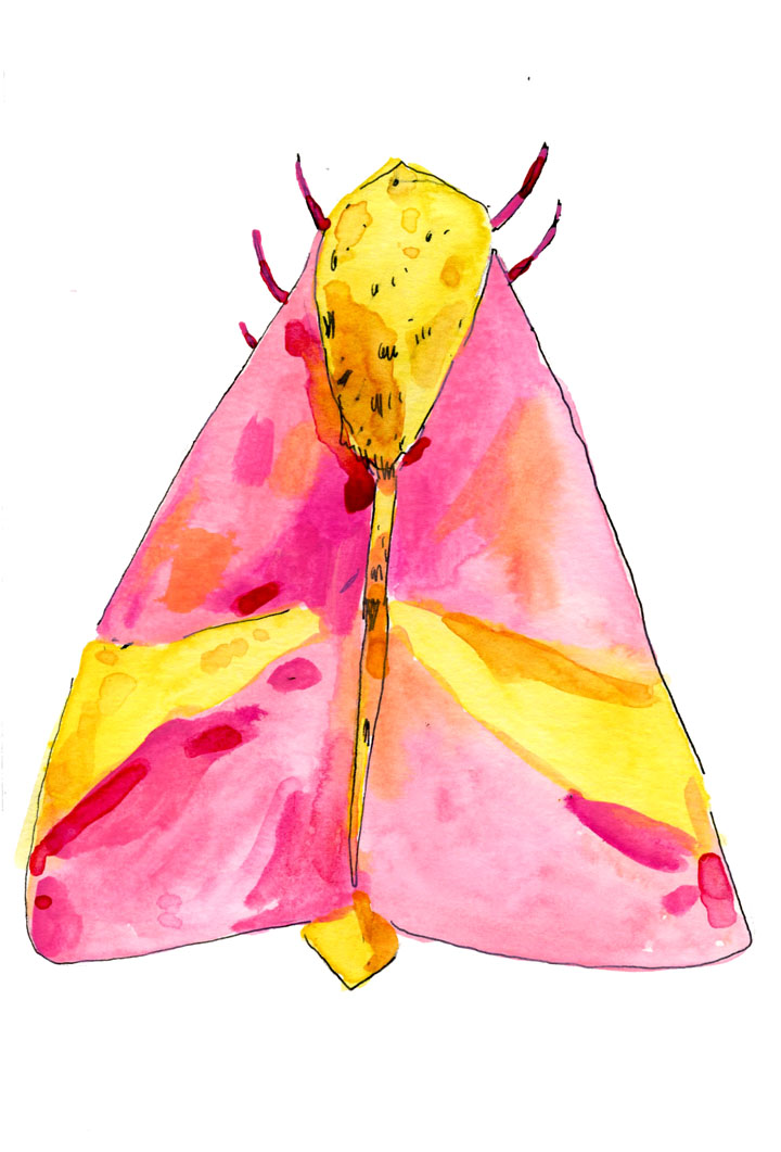 patterned moth illustration