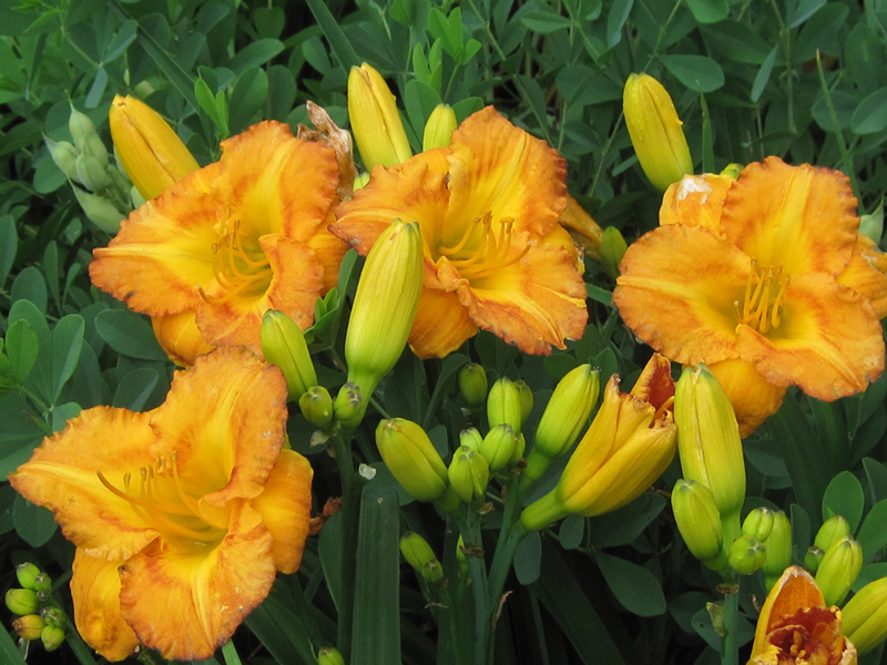 Orange and yellow daylily backed by the blue oval leaves of Baptisia