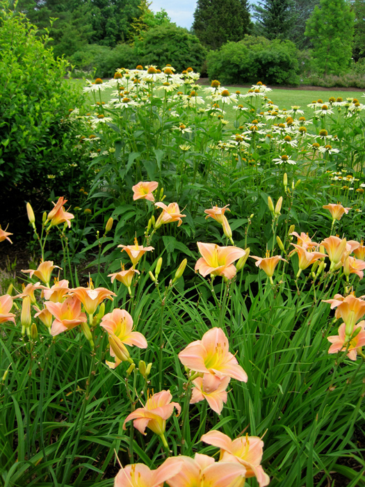 Soft pastels - peach daylily and creamy echinacea at Tower Hill