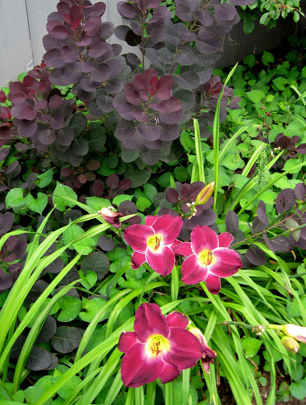 Maroon daylilies combine beautifully with a purple smoke bush.