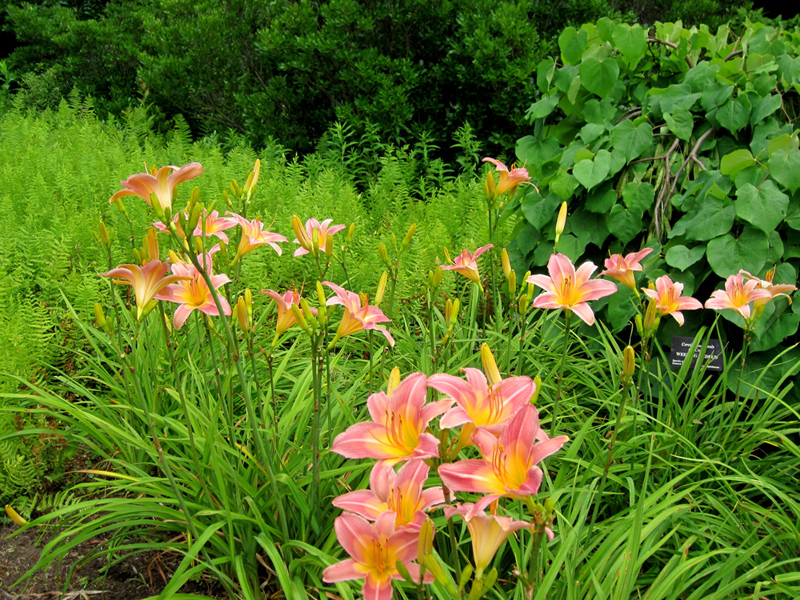 Pink daylilies against the feathery foliage of Hay Scented fern