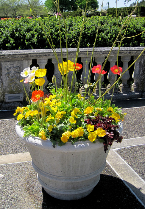 (Poppies, lettuce and pansies grace a terrace at Longwood Gardens)
